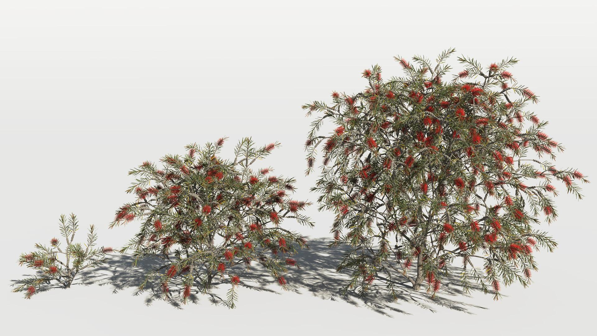 3D model of the Bottlebrush rigidus Callistemon rigidus maturity variations