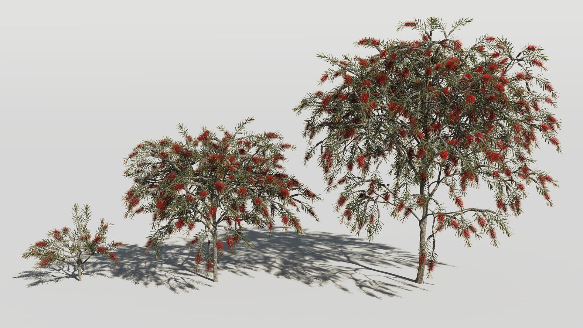 3D model of the Bottlebrush rigidus Callistemon rigidus