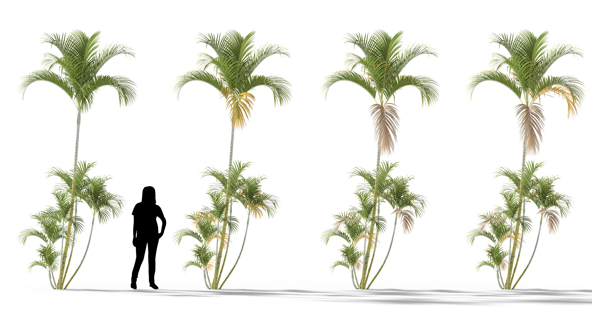 3D model of the Butterfly palm Dypsis lutescens health variations