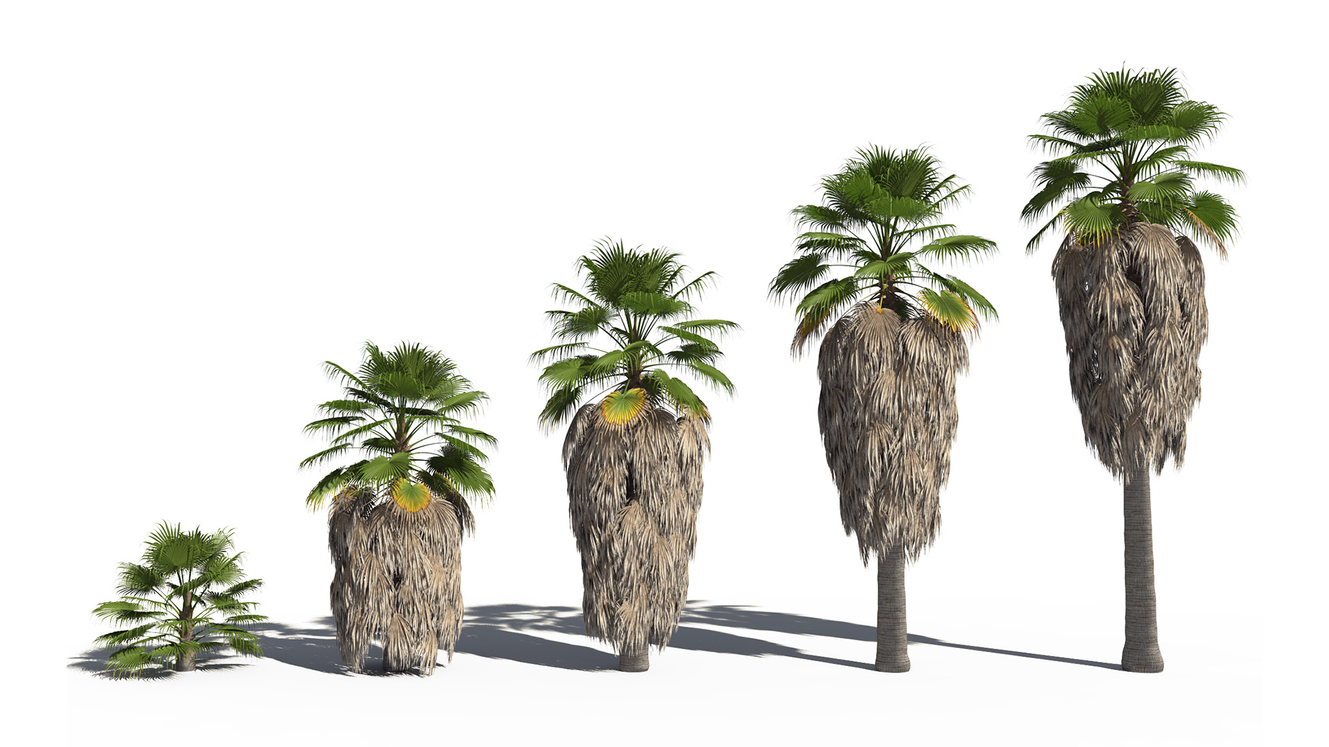 3D model of the California fan palm Washingtonia filifera maturity variations