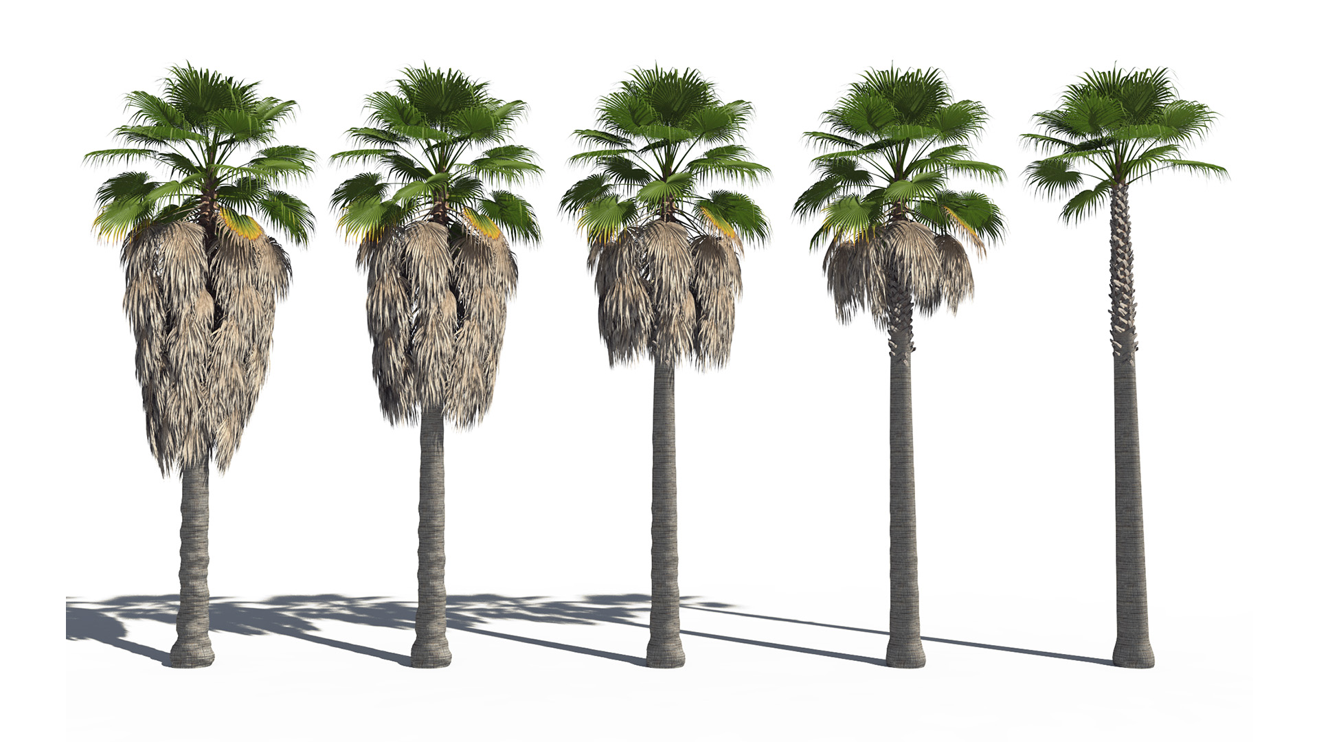 3D model of the California fan palm Washingtonia filifera different presets