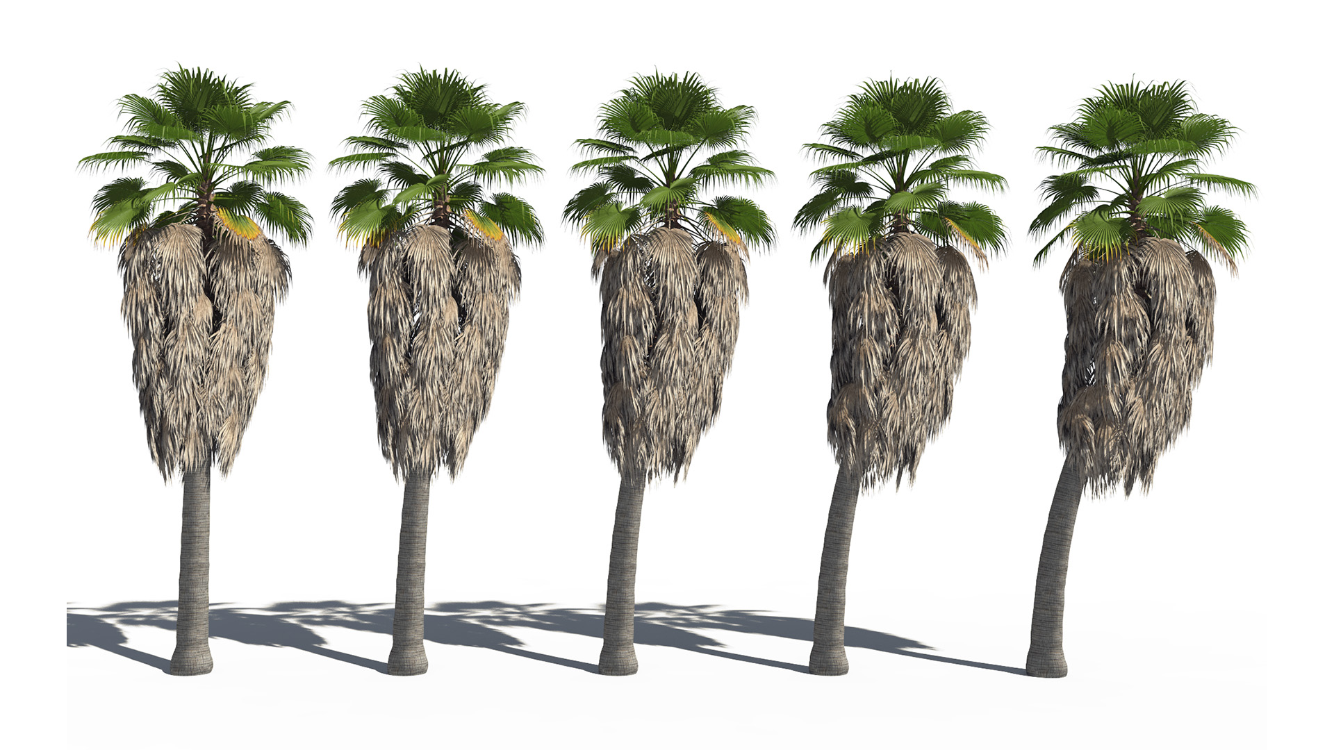 3D model of the California fan palm Washingtonia filifera