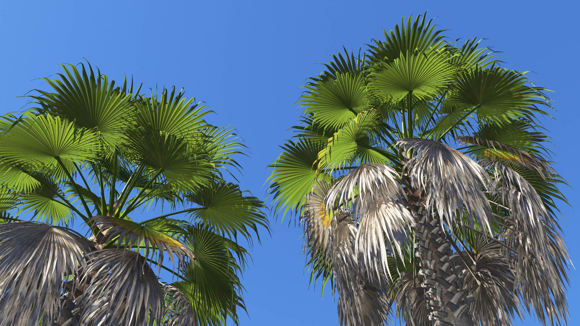 3D model of the California fan palm Washingtonia filifera close-up