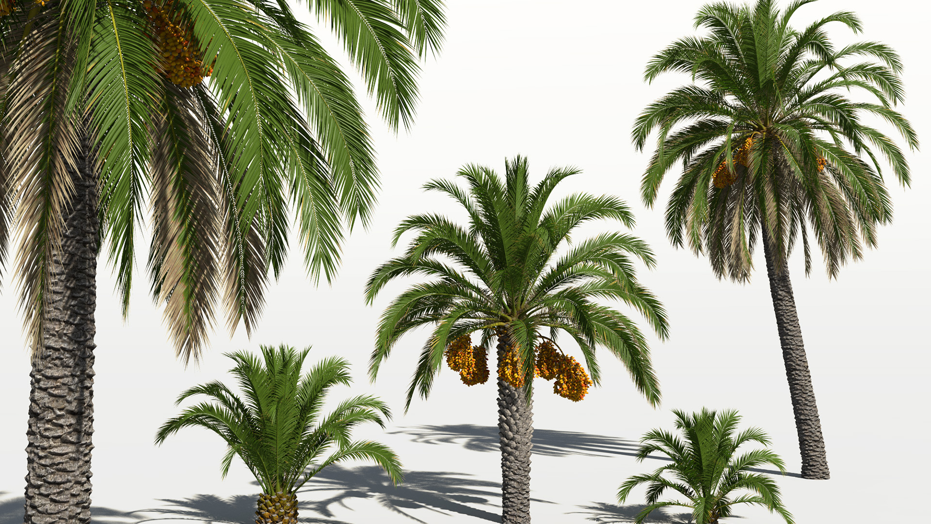 3D model of the Canary Island date palm Phoenix canariensis different presets