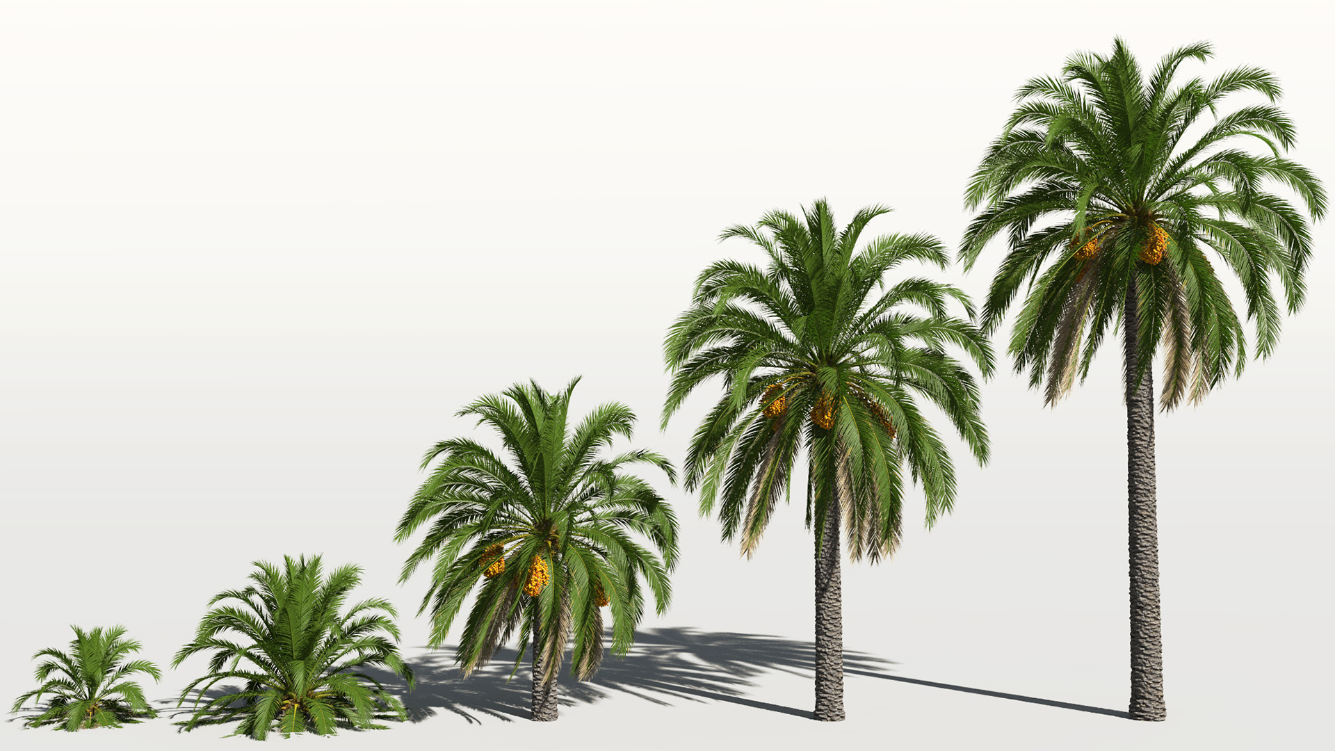 3D model of the Canary Island date palm Phoenix canariensis maturity variations