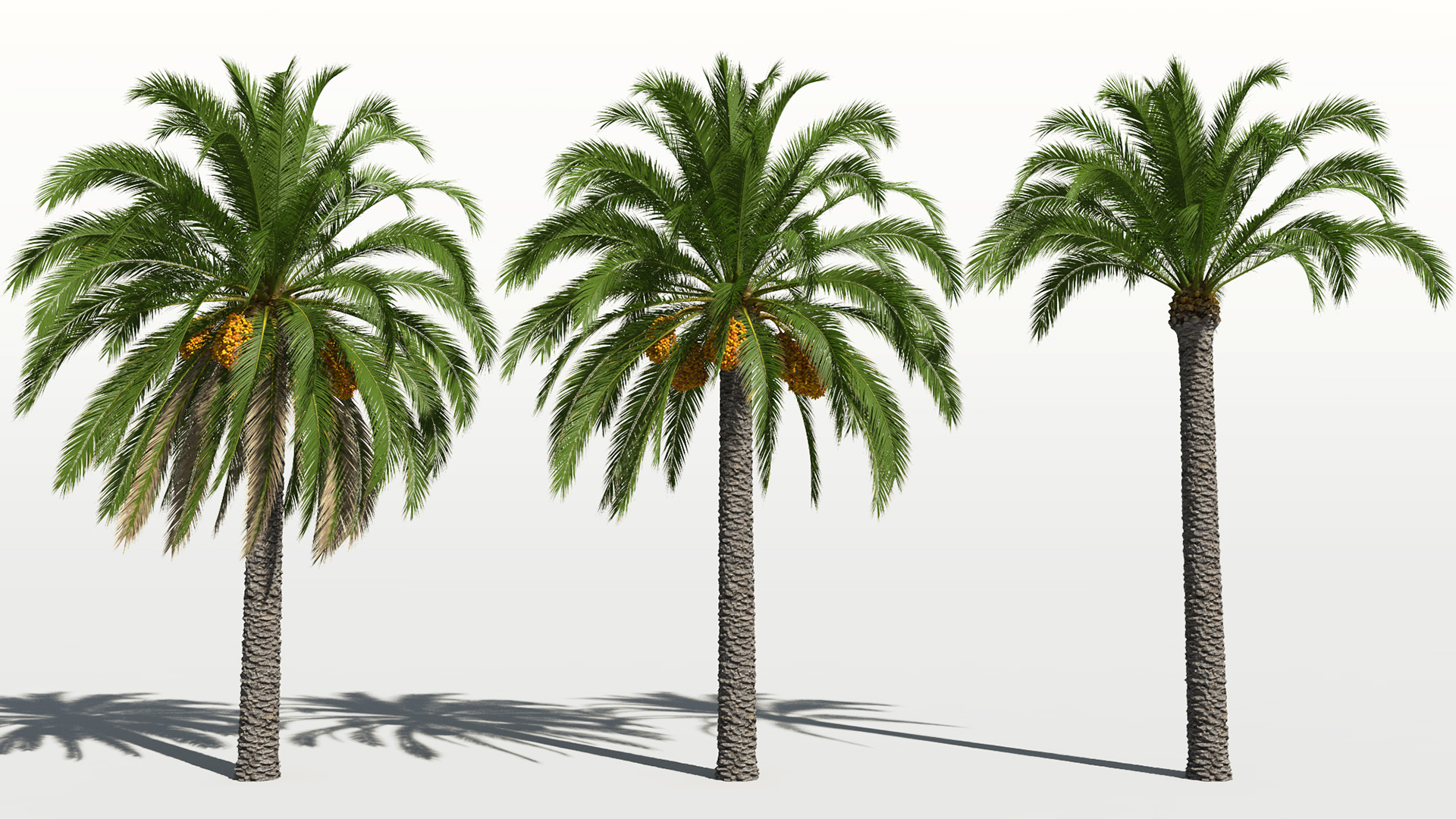 3D model of the Canary Island date palm Phoenix canariensis
