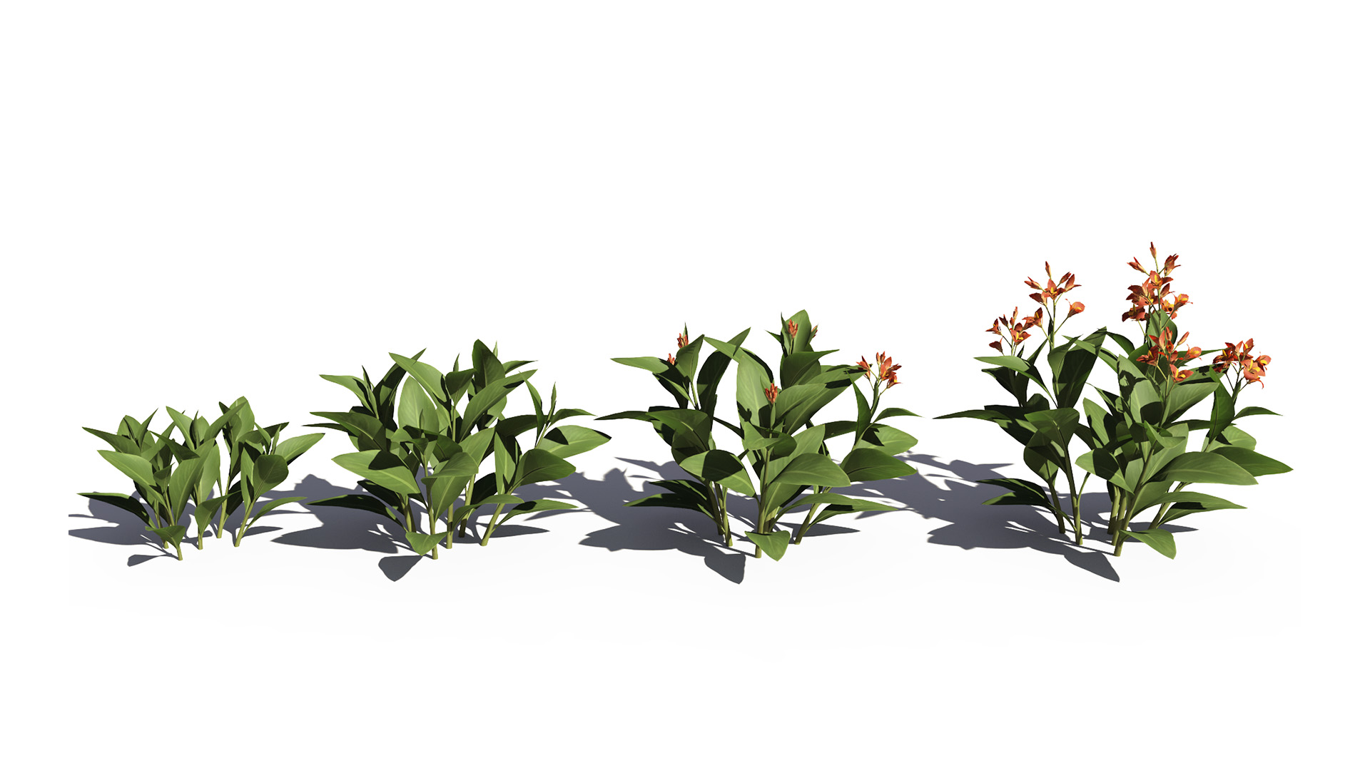 3D model of the Canna lily Canna x generalis orange maturity variations