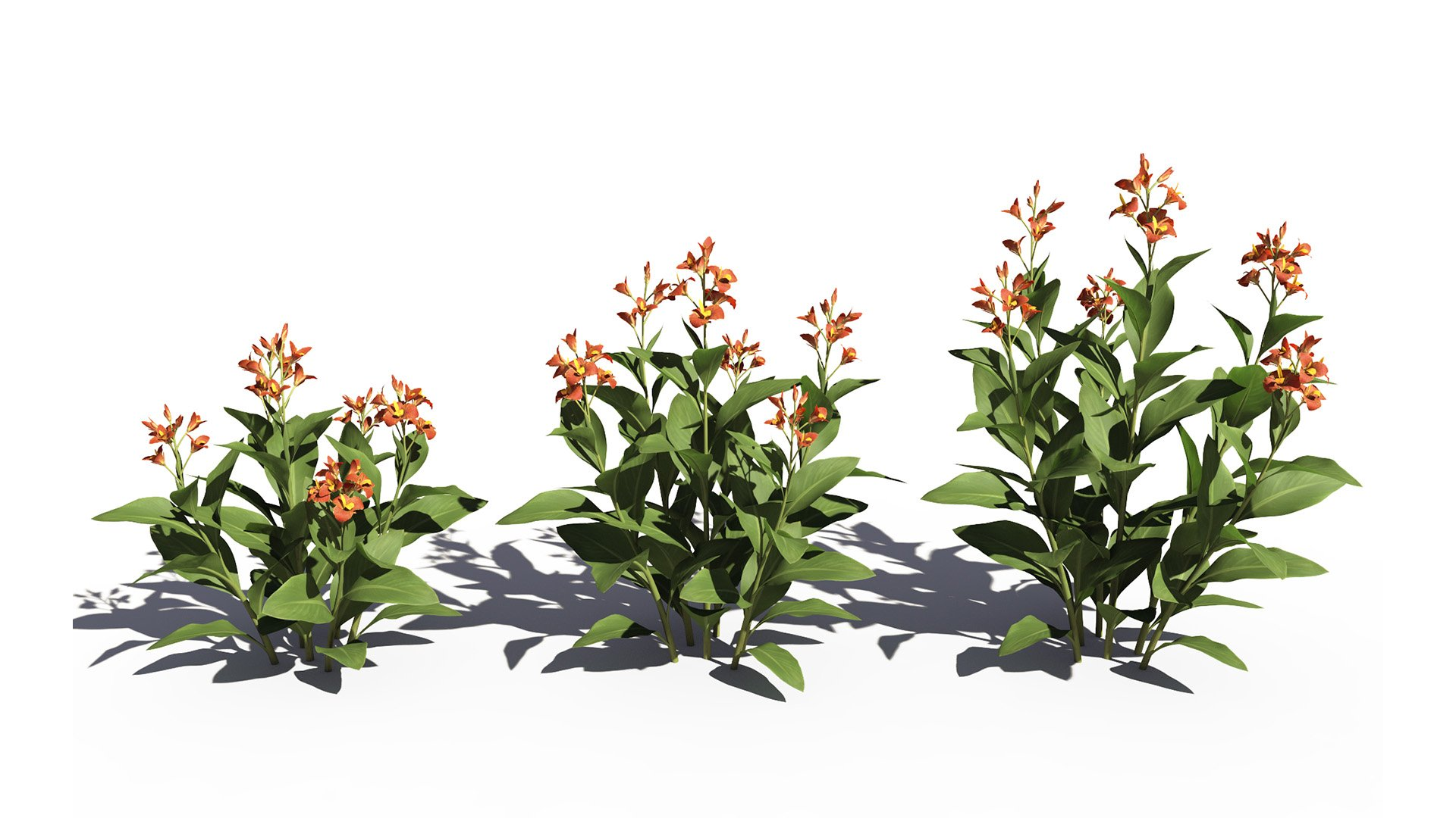 3D model of the Canna lily Canna x generalis orange