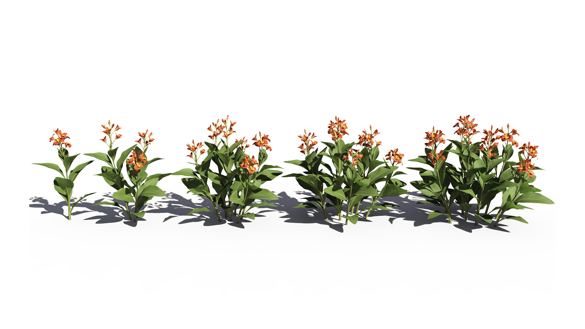3D model of the Canna lily Canna x generalis orange different presets