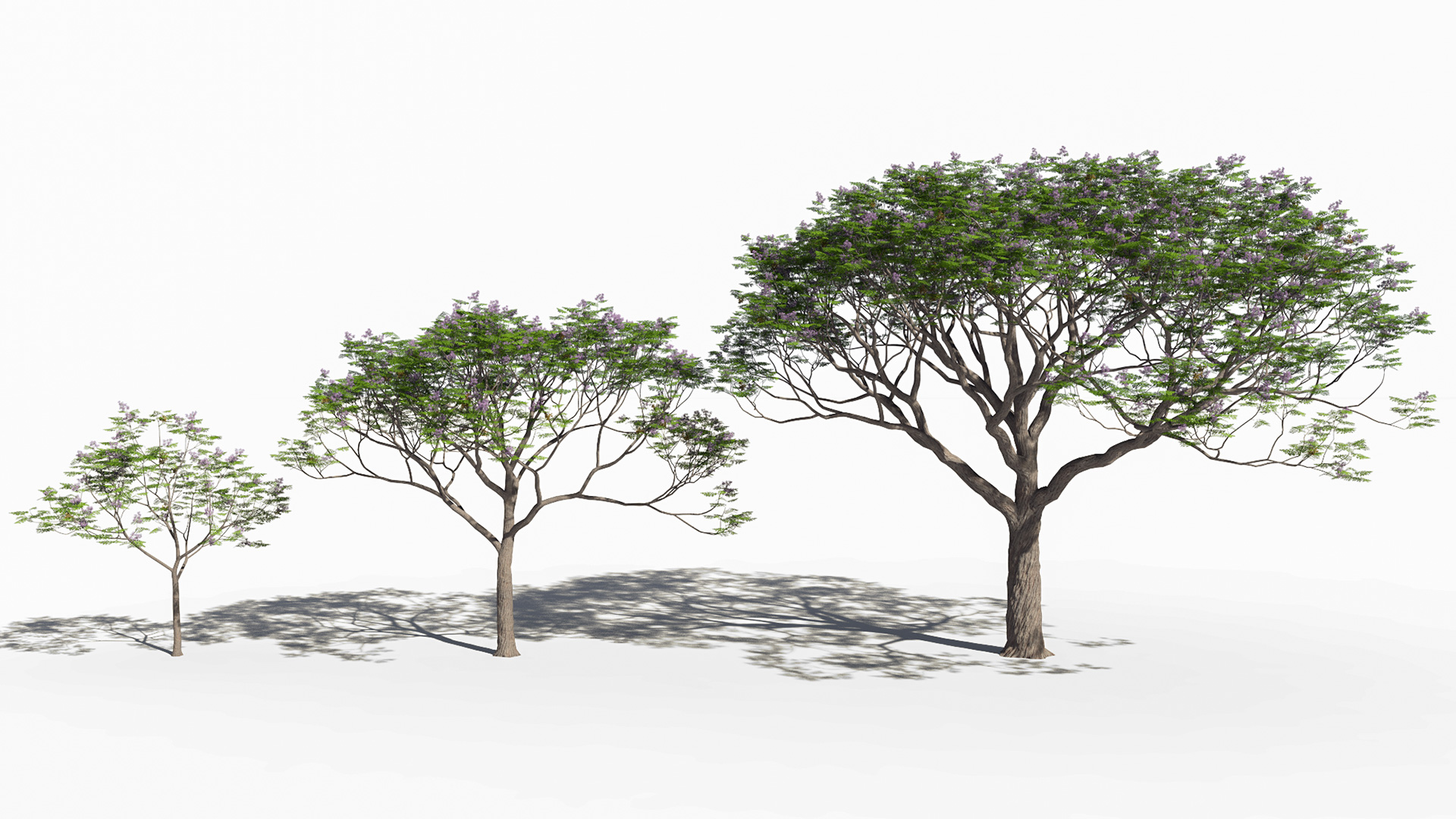 3D model of the Chinaberry tree Melia azedarach maturity variations