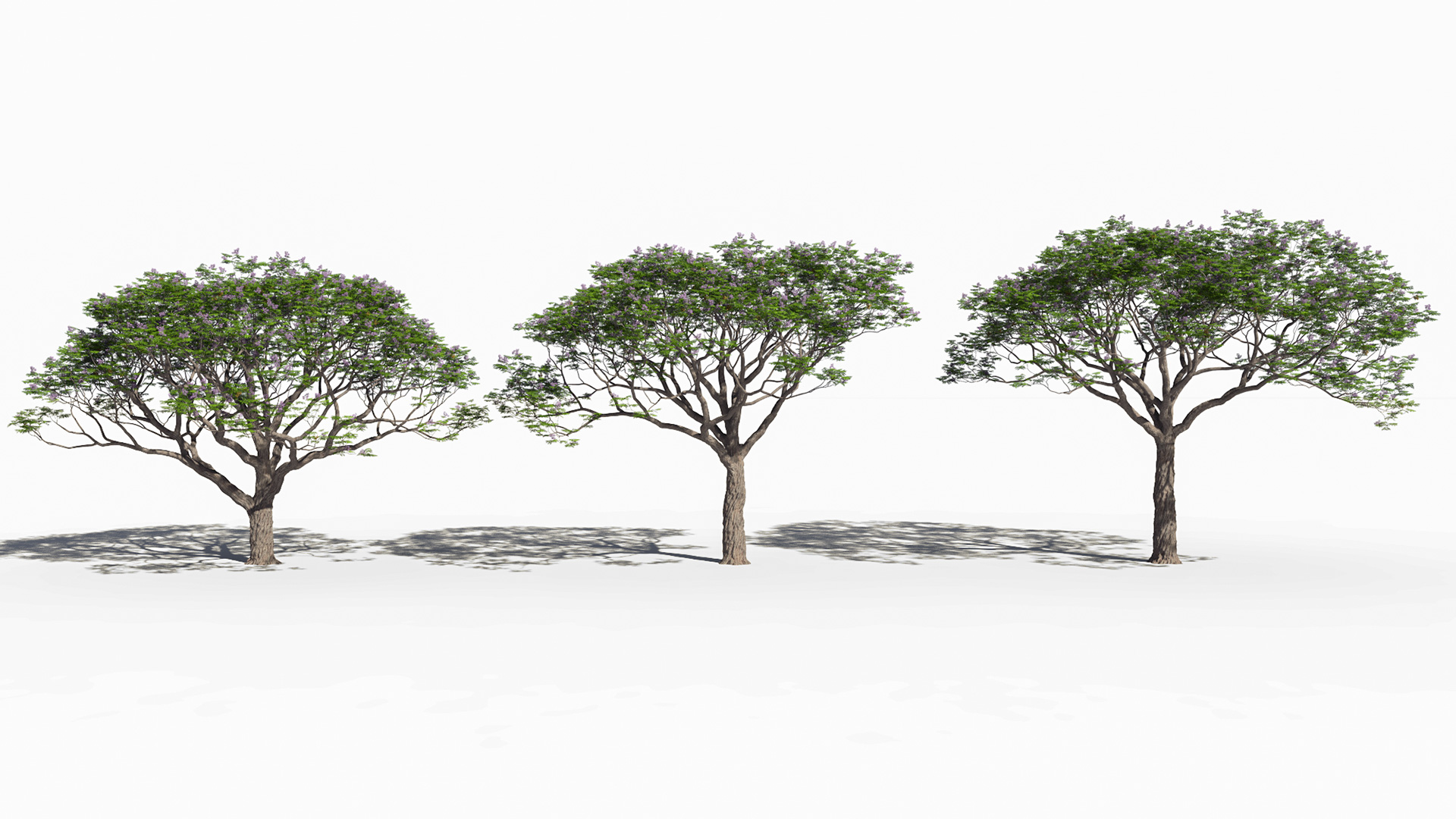 3D model of the Chinaberry tree Melia azedarach different presets