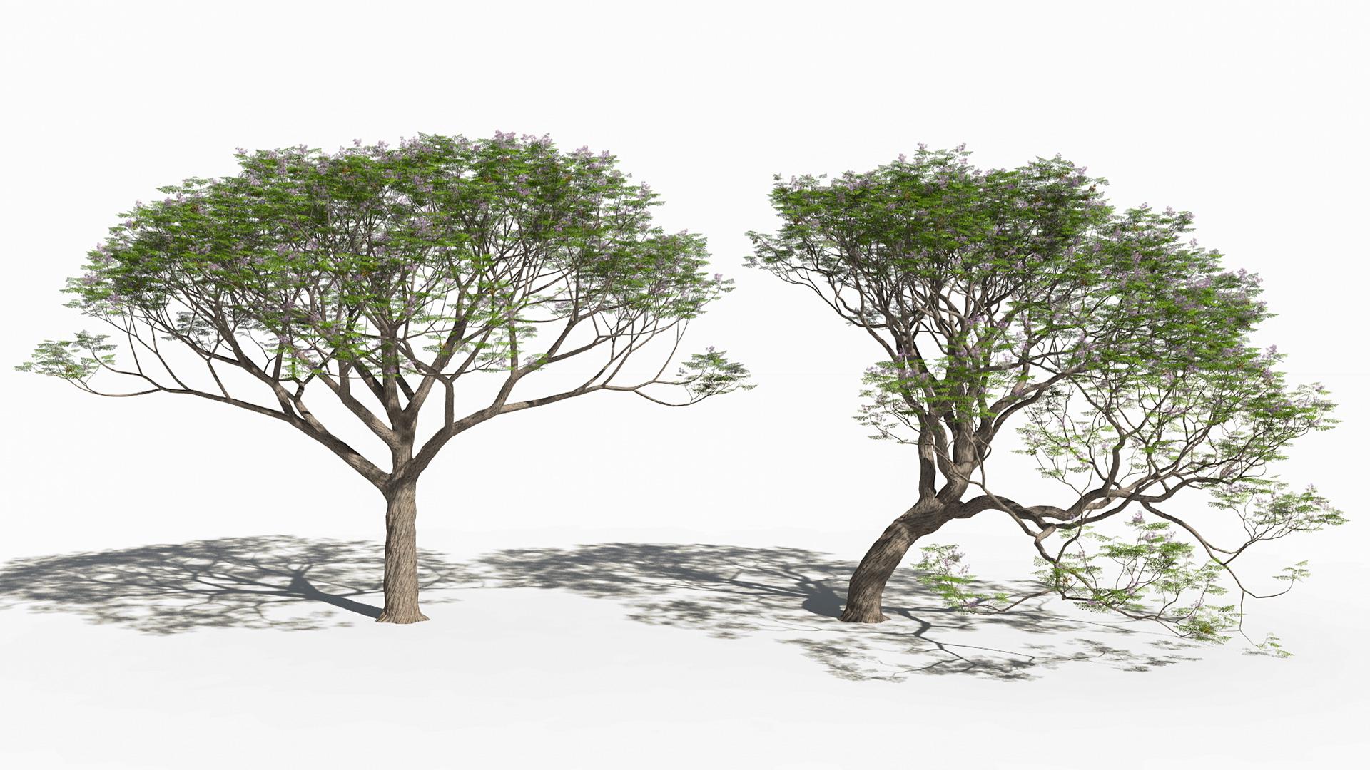 3D model of the Chinaberry tree Melia azedarach