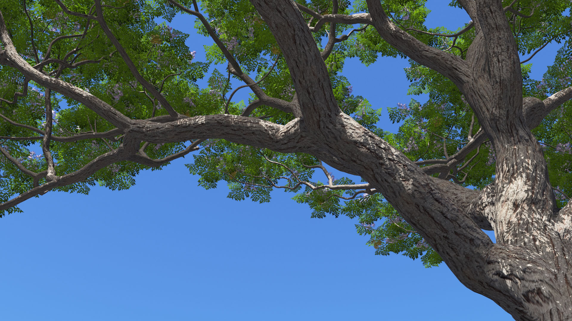 3D model of the Chinaberry tree Melia azedarach close-up