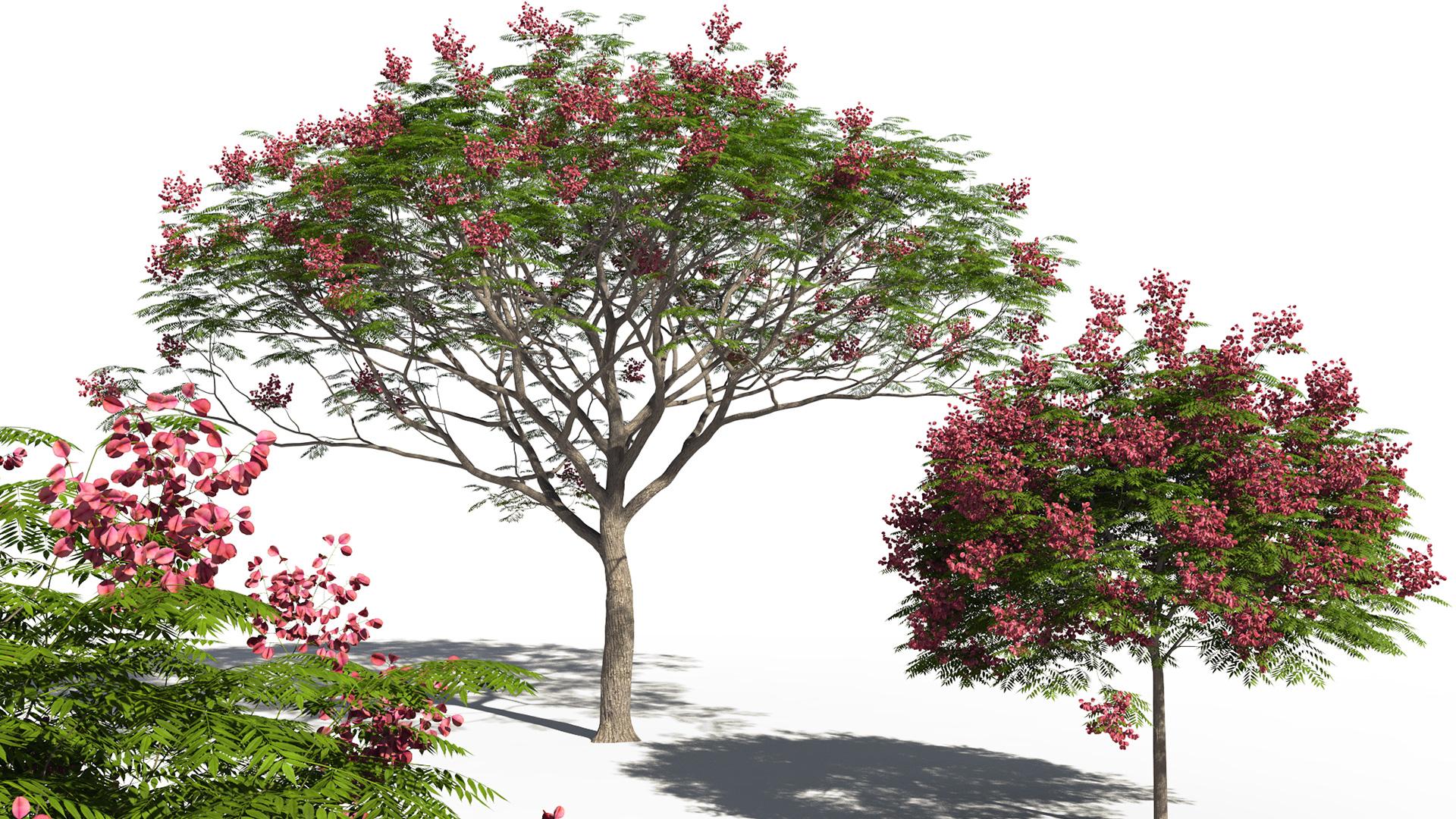 3D model of the Chinese flame tree Koelreuteria bipinnata