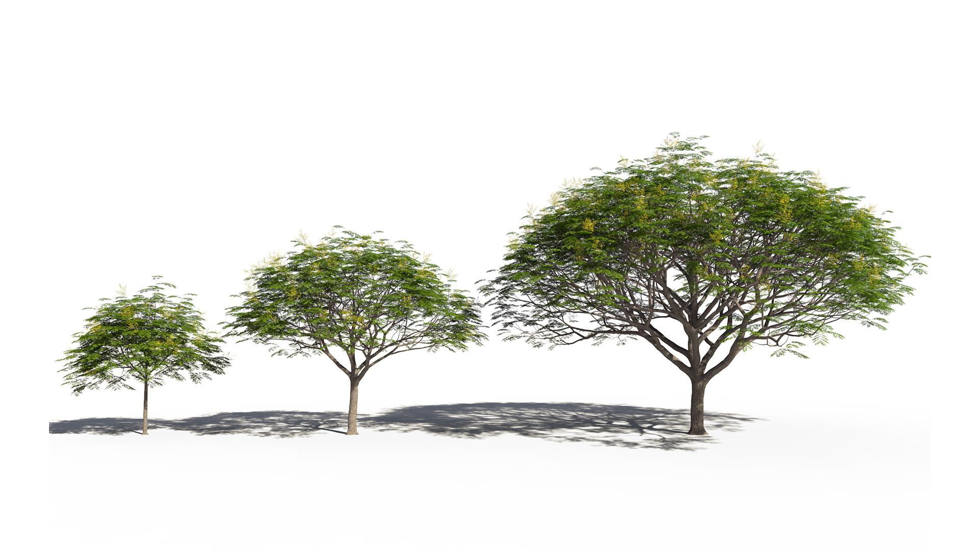 3D model of the Chinese flame tree Koelreuteria bipinnata maturity variations