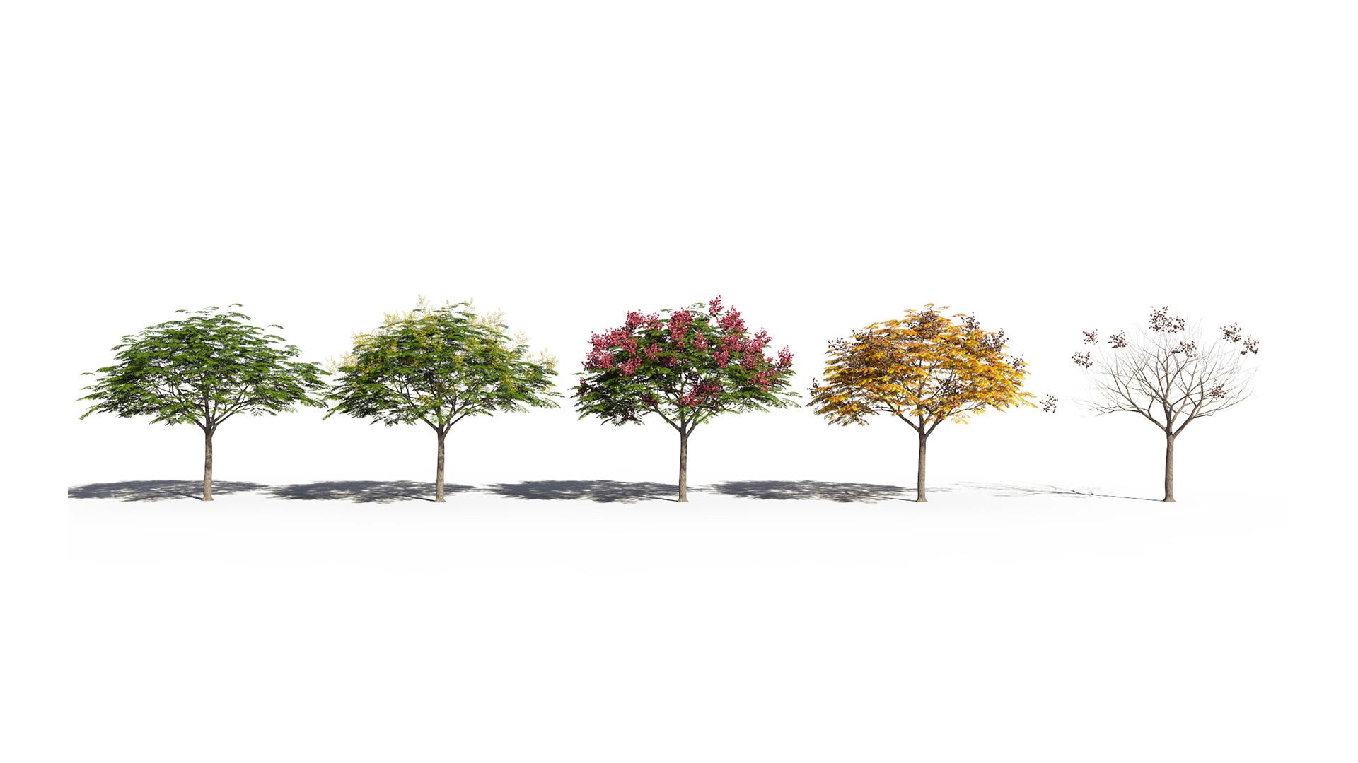 3D model of the Chinese flame tree Koelreuteria bipinnata season variations