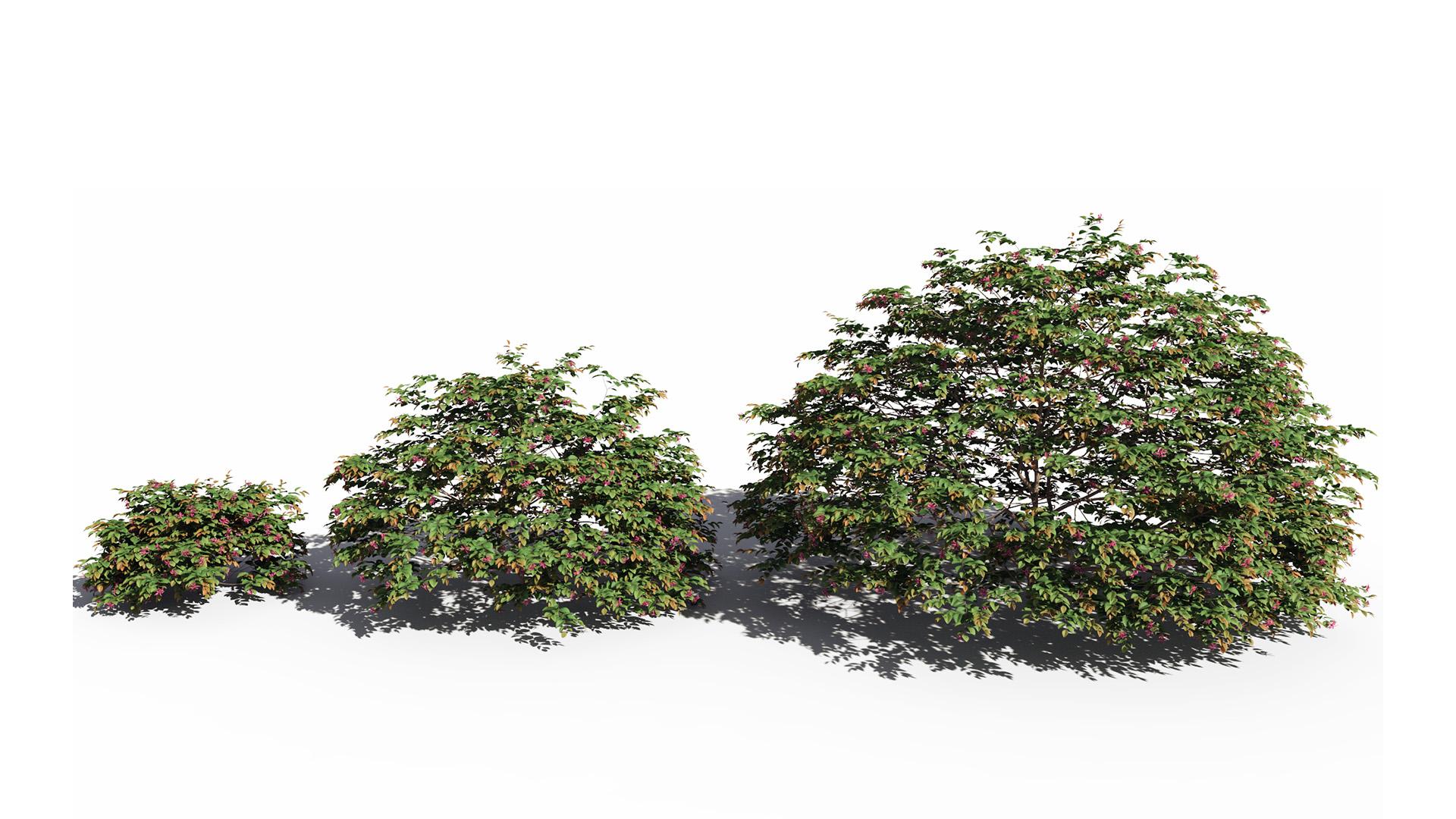 3D model of the Chinese fringe flower Loropetalum chinense var rubrum maturity variations