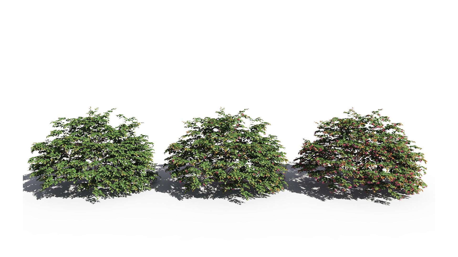 3D model of the Chinese fringe flower Loropetalum chinense var rubrum season variations