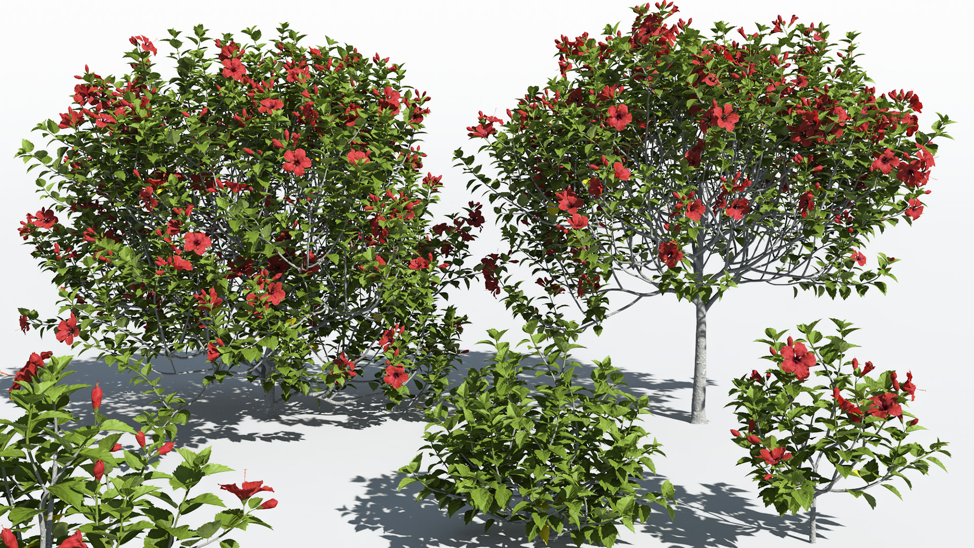 3D model of the Chinese hibiscus Hibiscus rosa-sinensis different presets