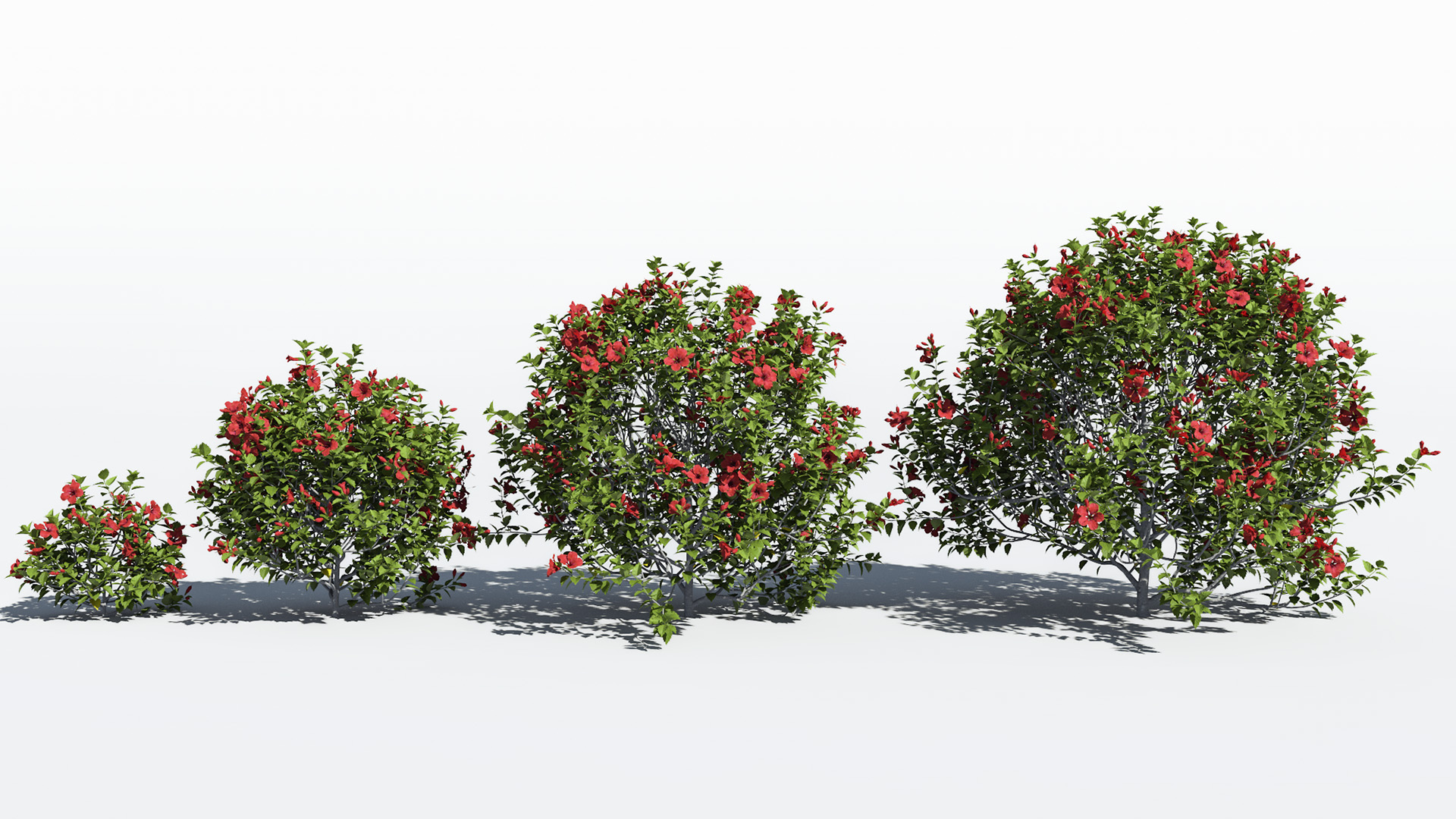 3D model of the Chinese hibiscus Hibiscus rosa-sinensis maturity variations