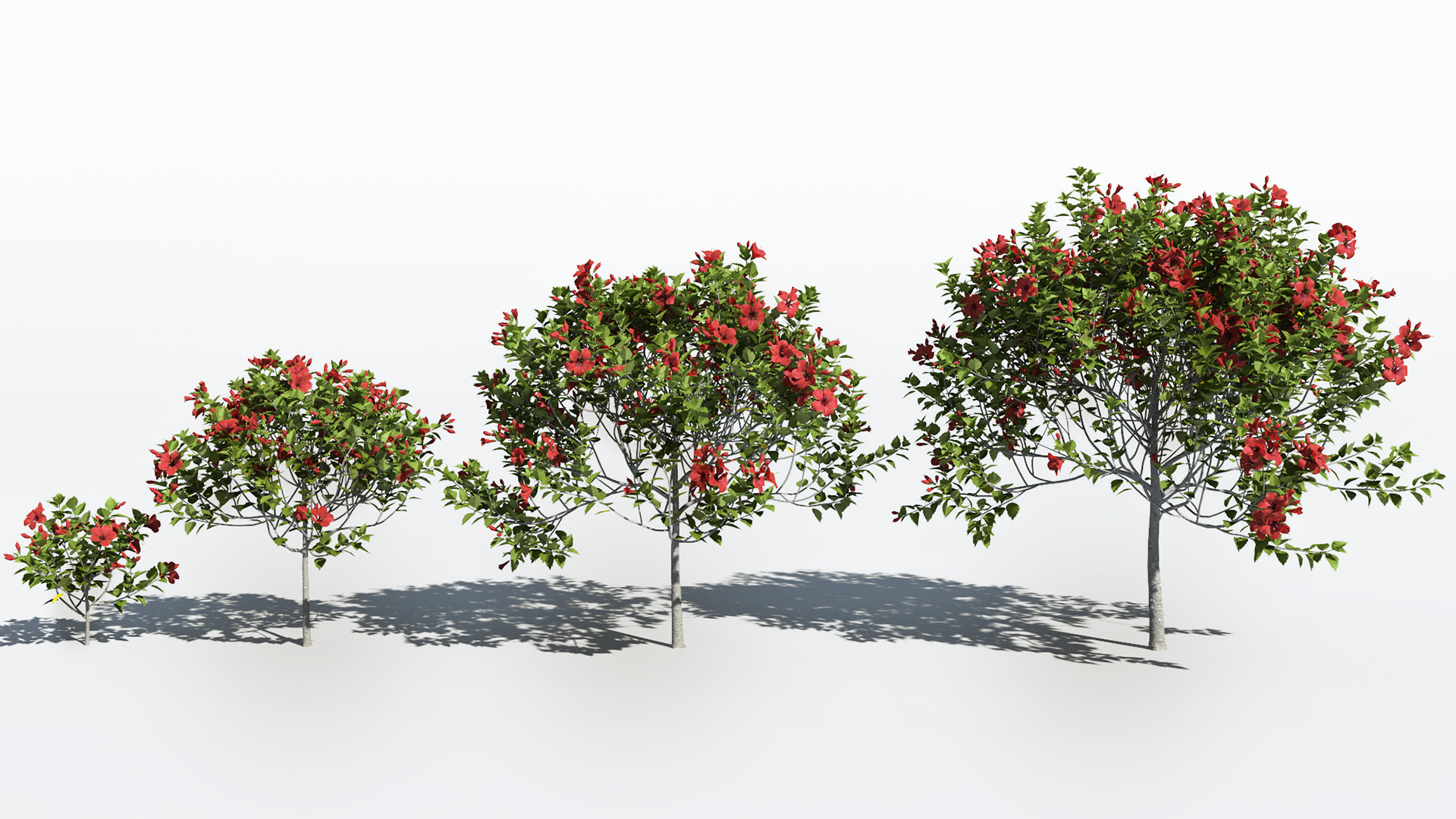 3D model of the Chinese hibiscus Hibiscus rosa-sinensis