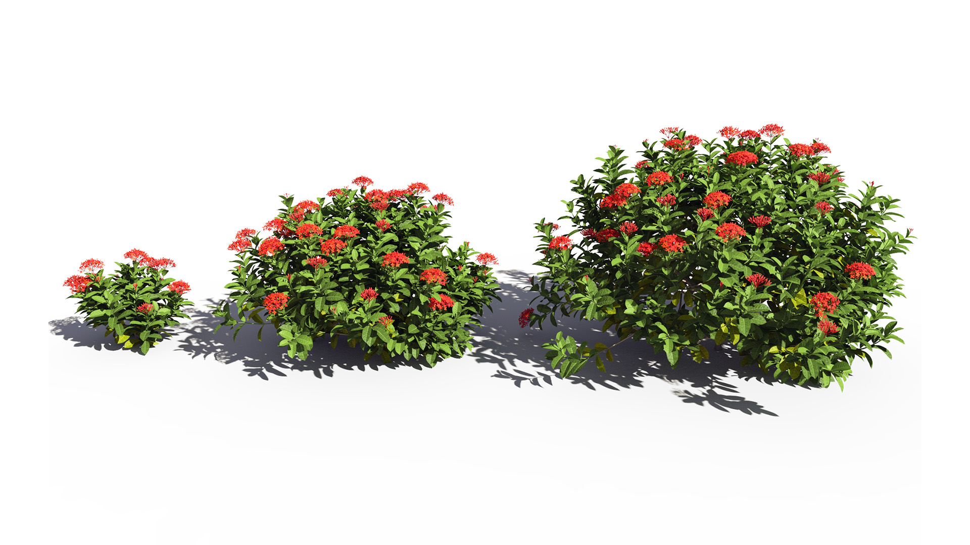 3D model of the Chinese jungle geranium Ixora chinensis red maturity variations
