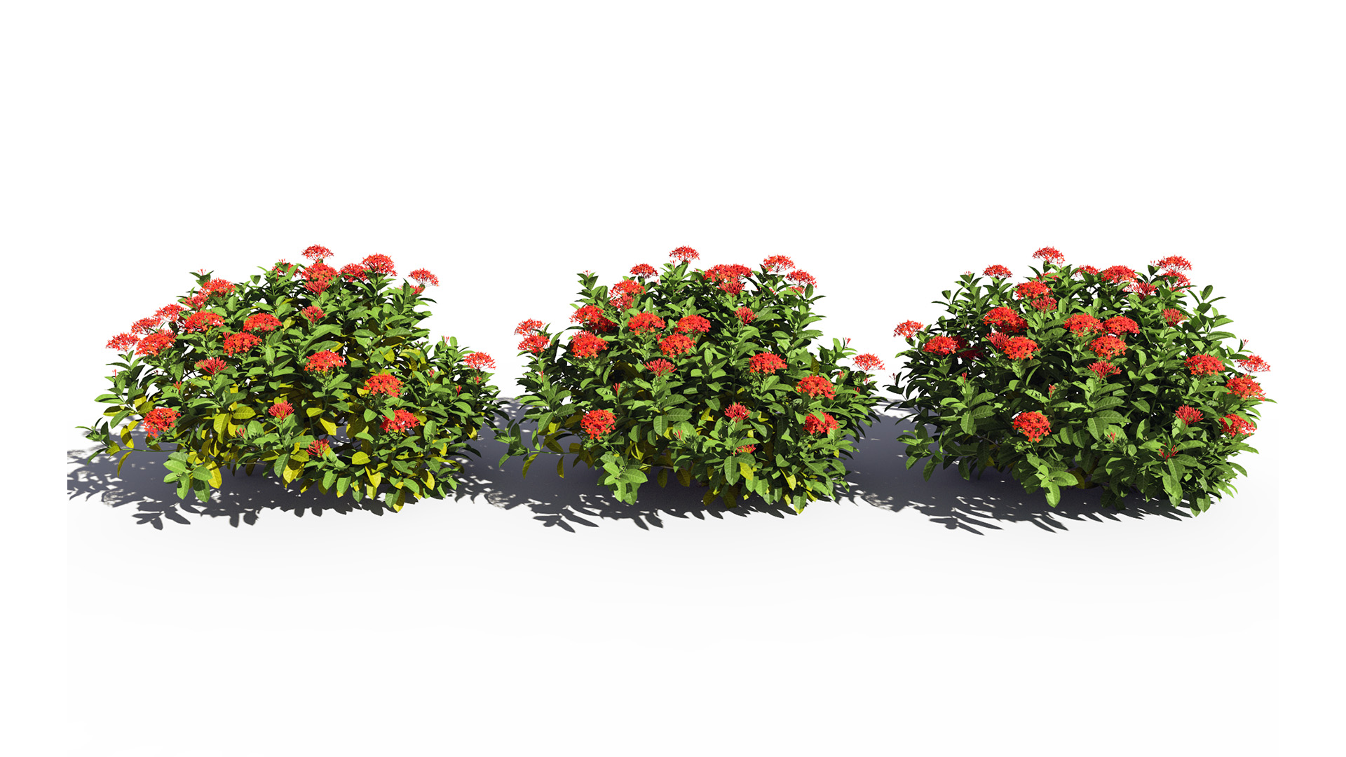 3D model of the Chinese jungle geranium Ixora chinensis red health variations