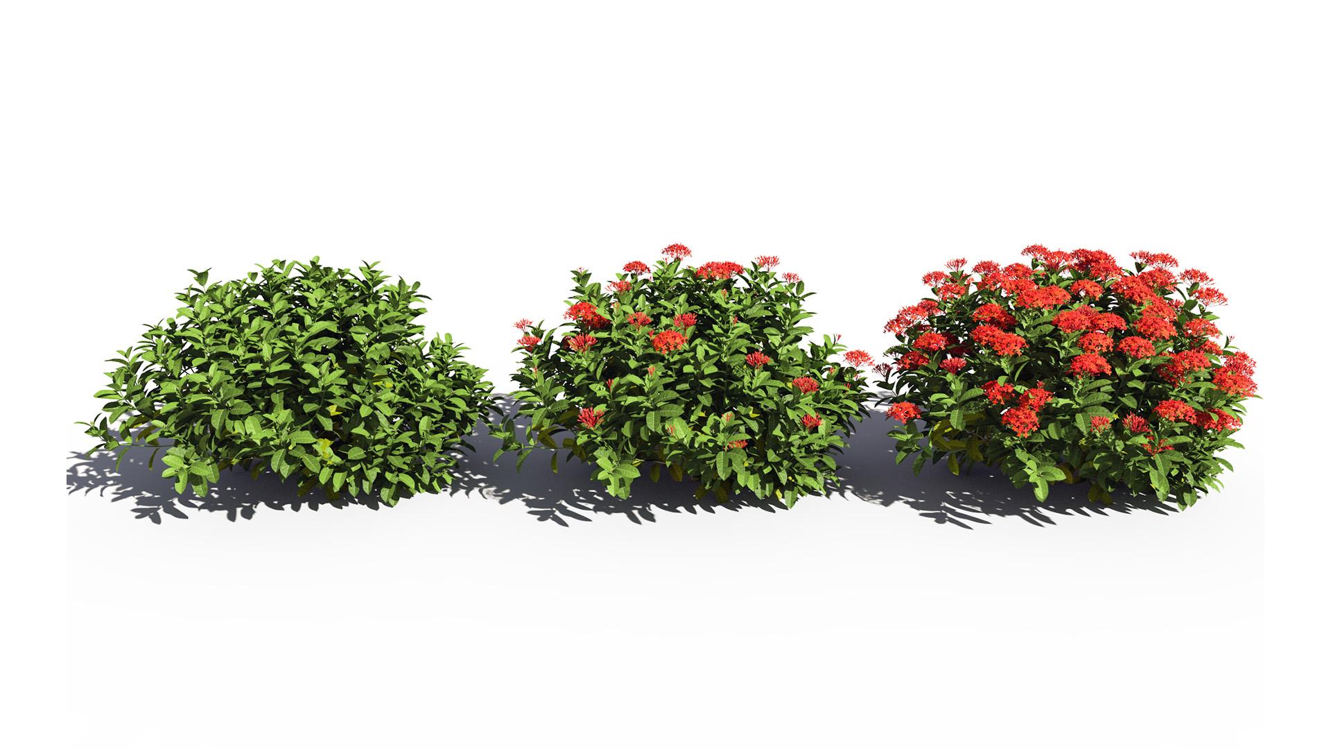 3D model of the Chinese jungle geranium Ixora chinensis red season variations