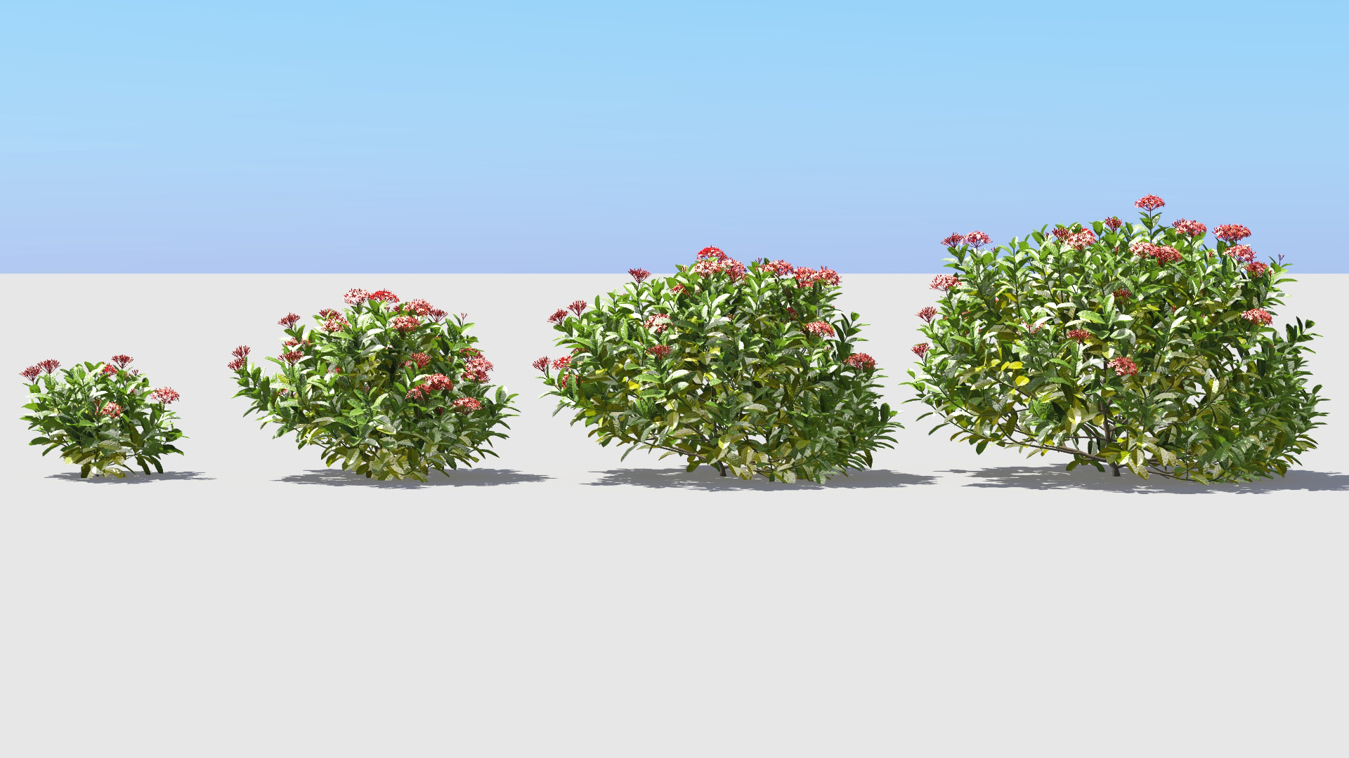 3D model of the Chinese jungle geranium Ixora chinensis red