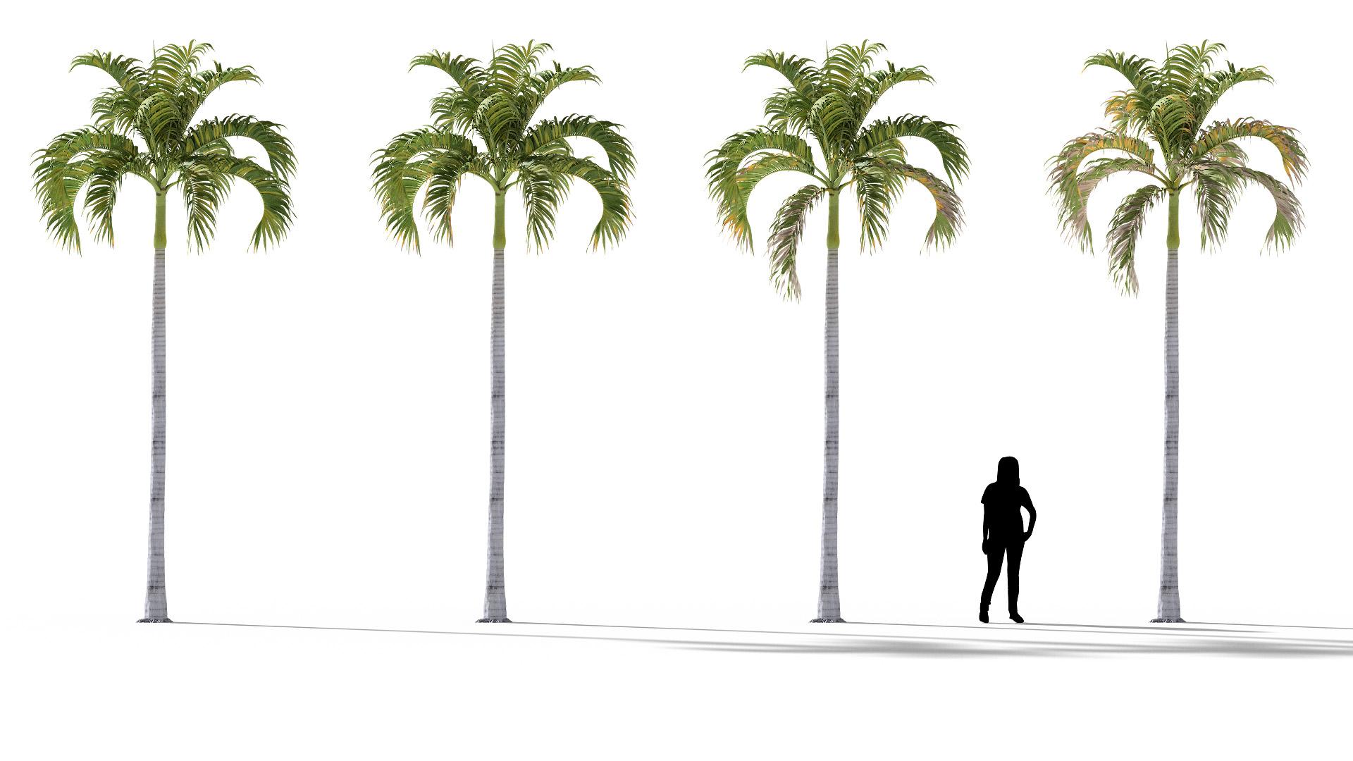 3D model of the Christmas palm Adonidia merrillii health variations