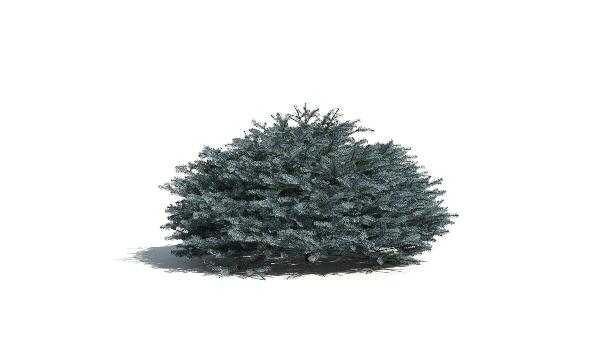 3D model of the Colorado Blue spruce Glauca Globosa Picea pungens