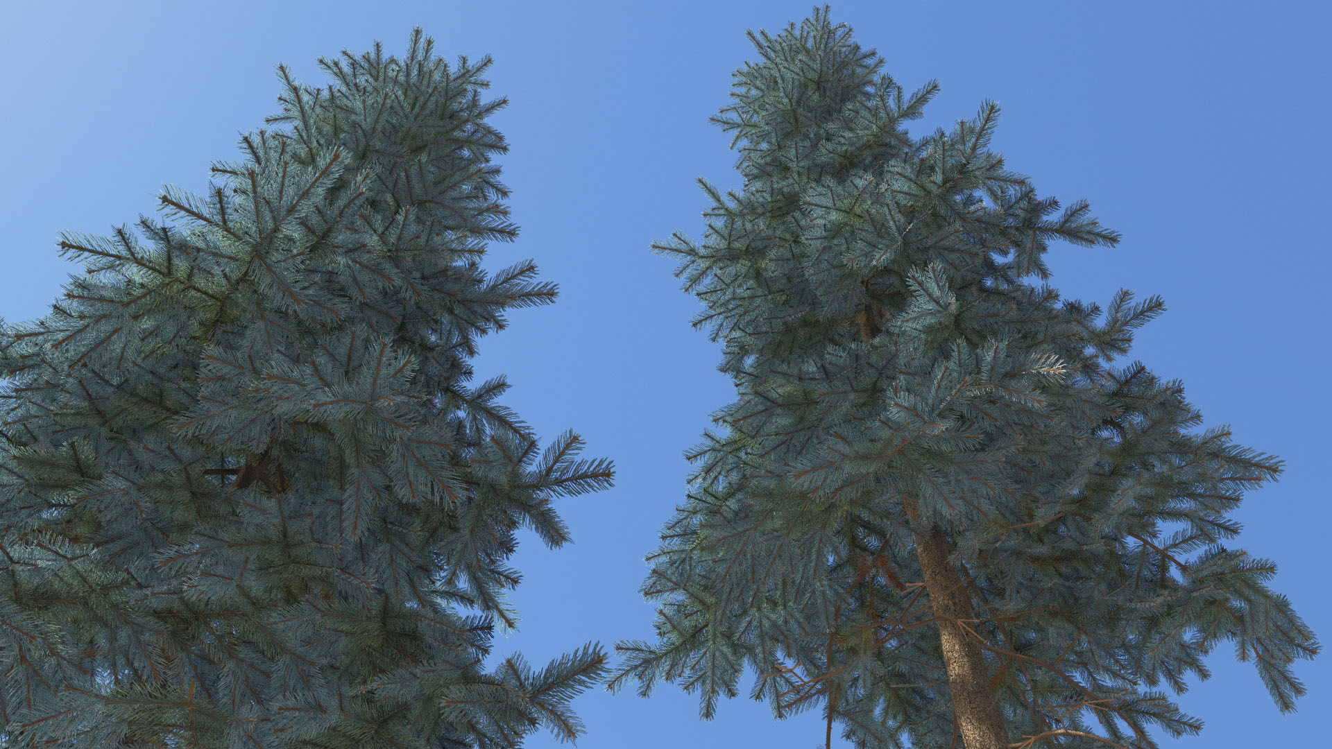 3D model of the Colorado Blue spruce Koster Picea pungens
