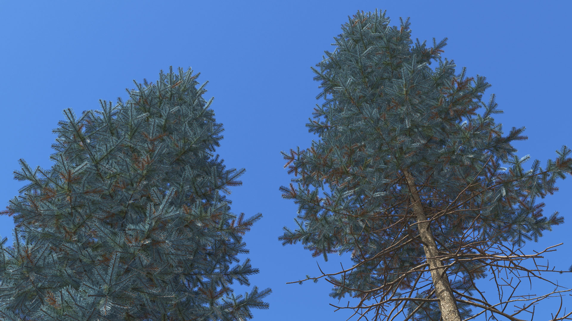 3D model of the Colorado Blue spruce Picea pungens close-up