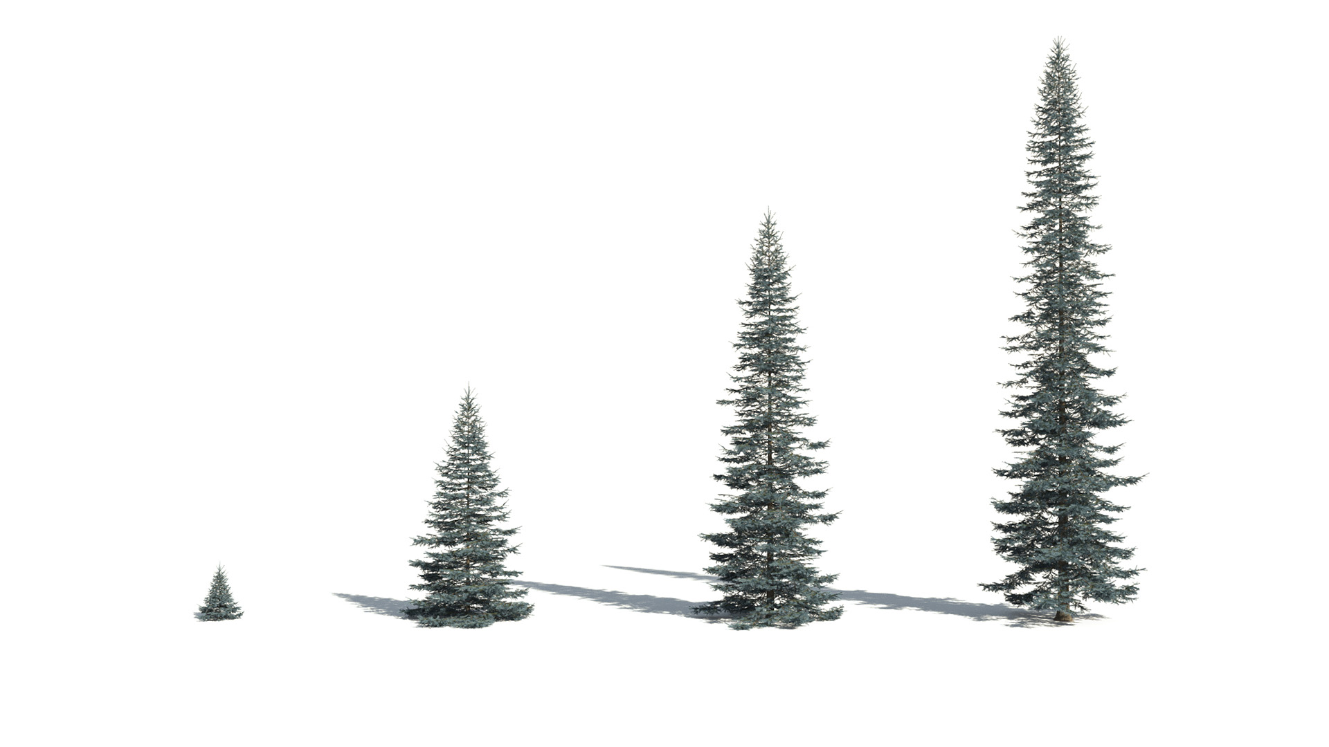 3D model of the Colorado Blue spruce Picea pungens maturity variations
