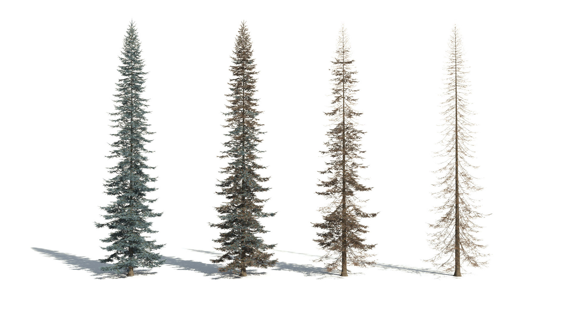 3D model of the Colorado Blue spruce Picea pungens health variations