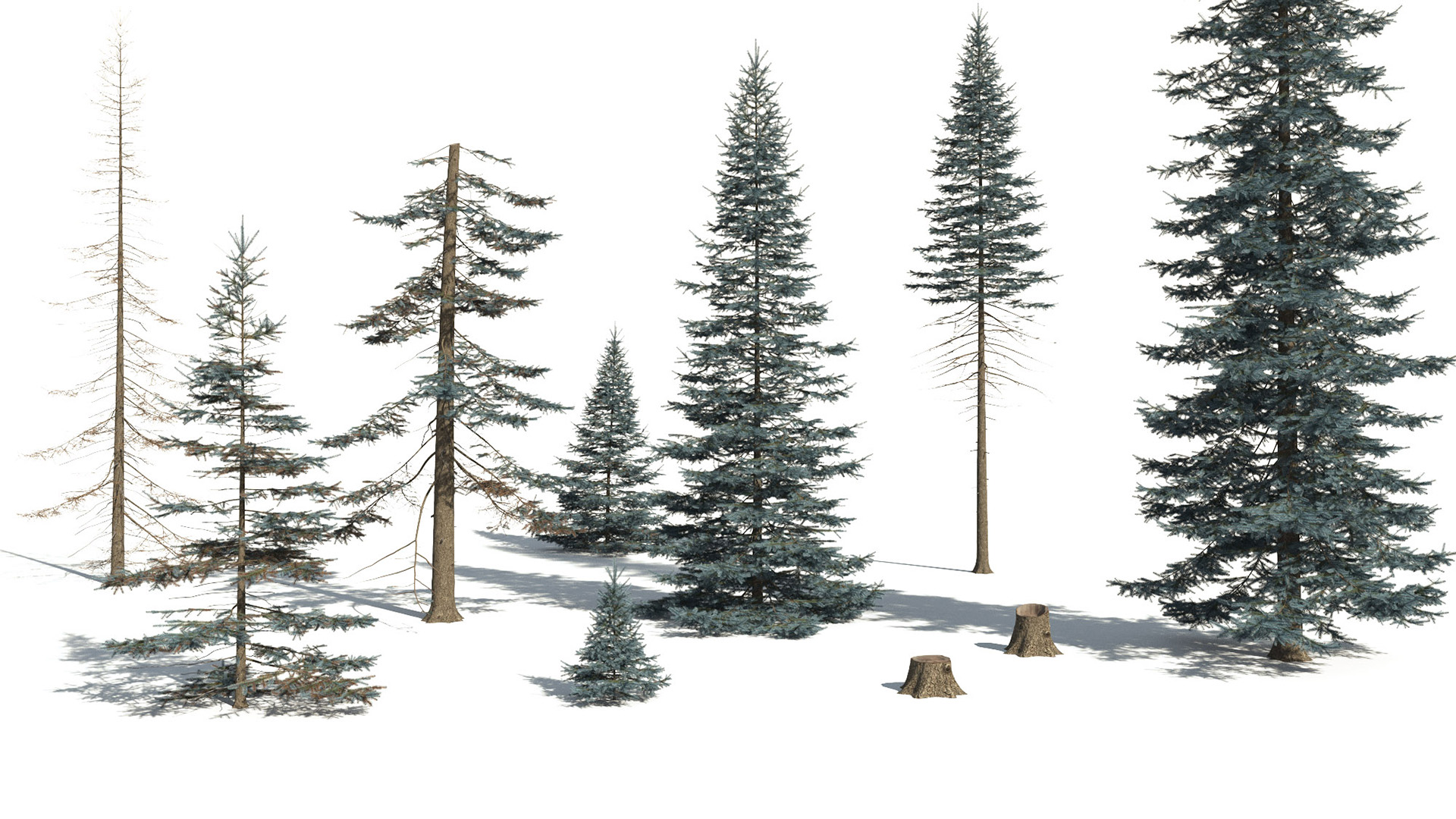 3D model of the Colorado Blue spruce Picea pungens different presets