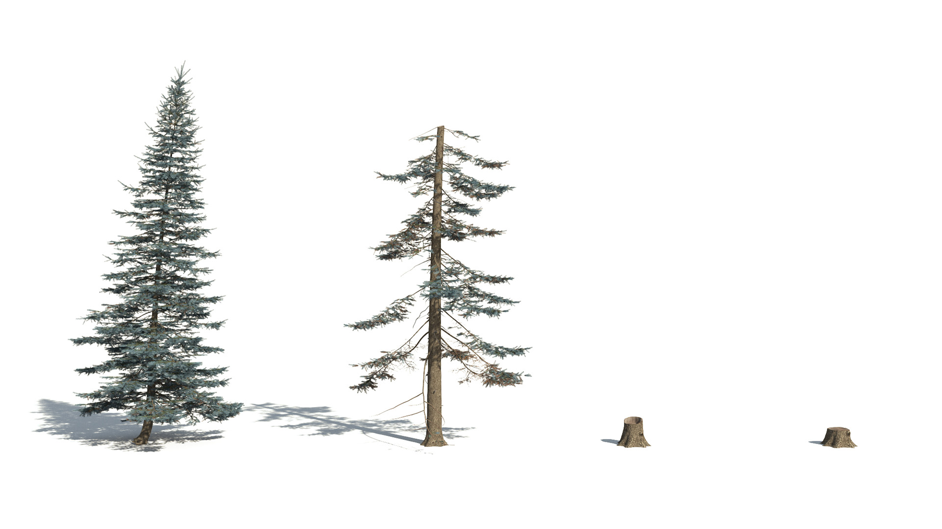 3D model of the Colorado Blue spruce Picea pungens