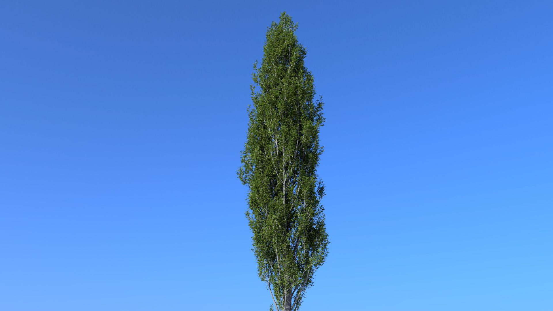 3D model of the Columnar swamp oak Quercus palustris