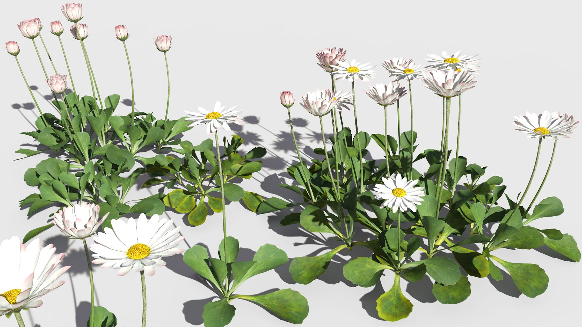 3D model of the Common daisy Bellis perennis different presets