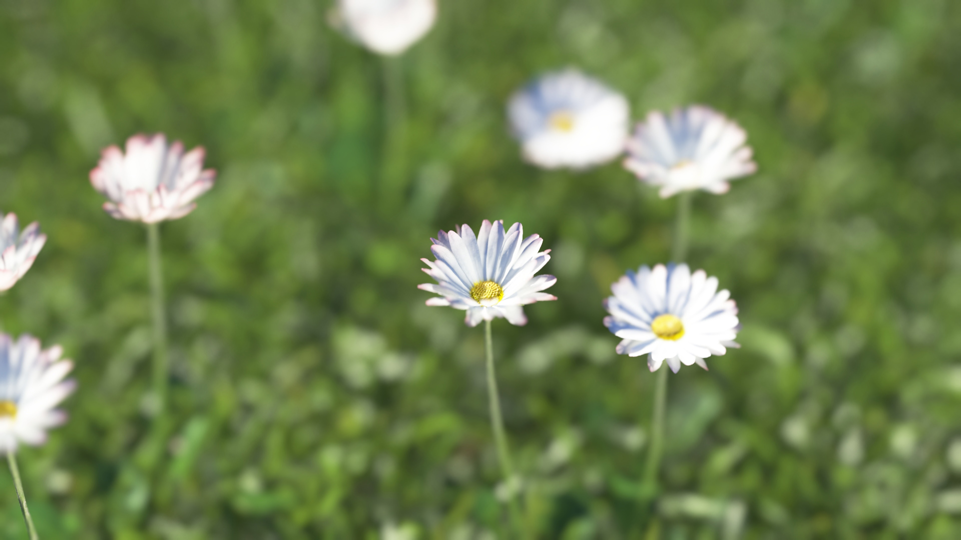 3D model of the Common daisy Bellis perennis close-up