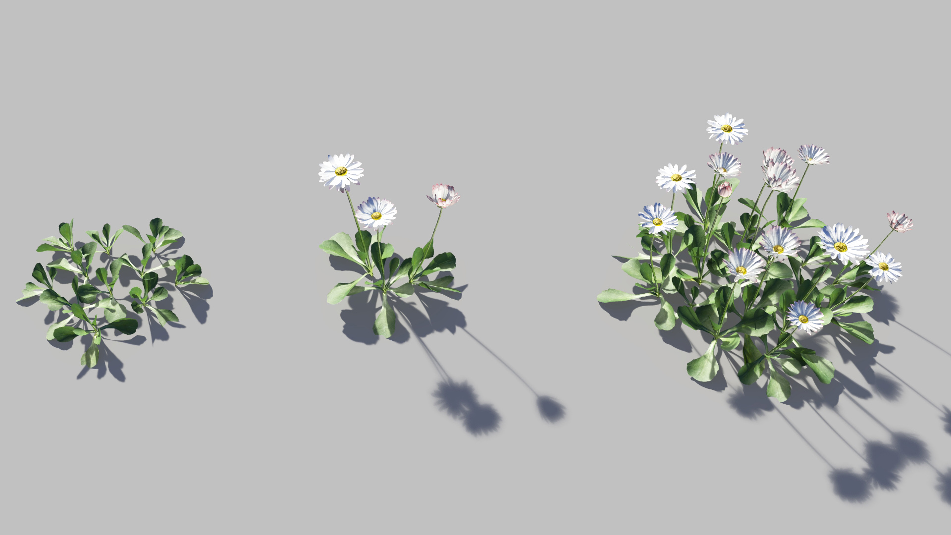 3D model of the Common daisy Bellis perennis