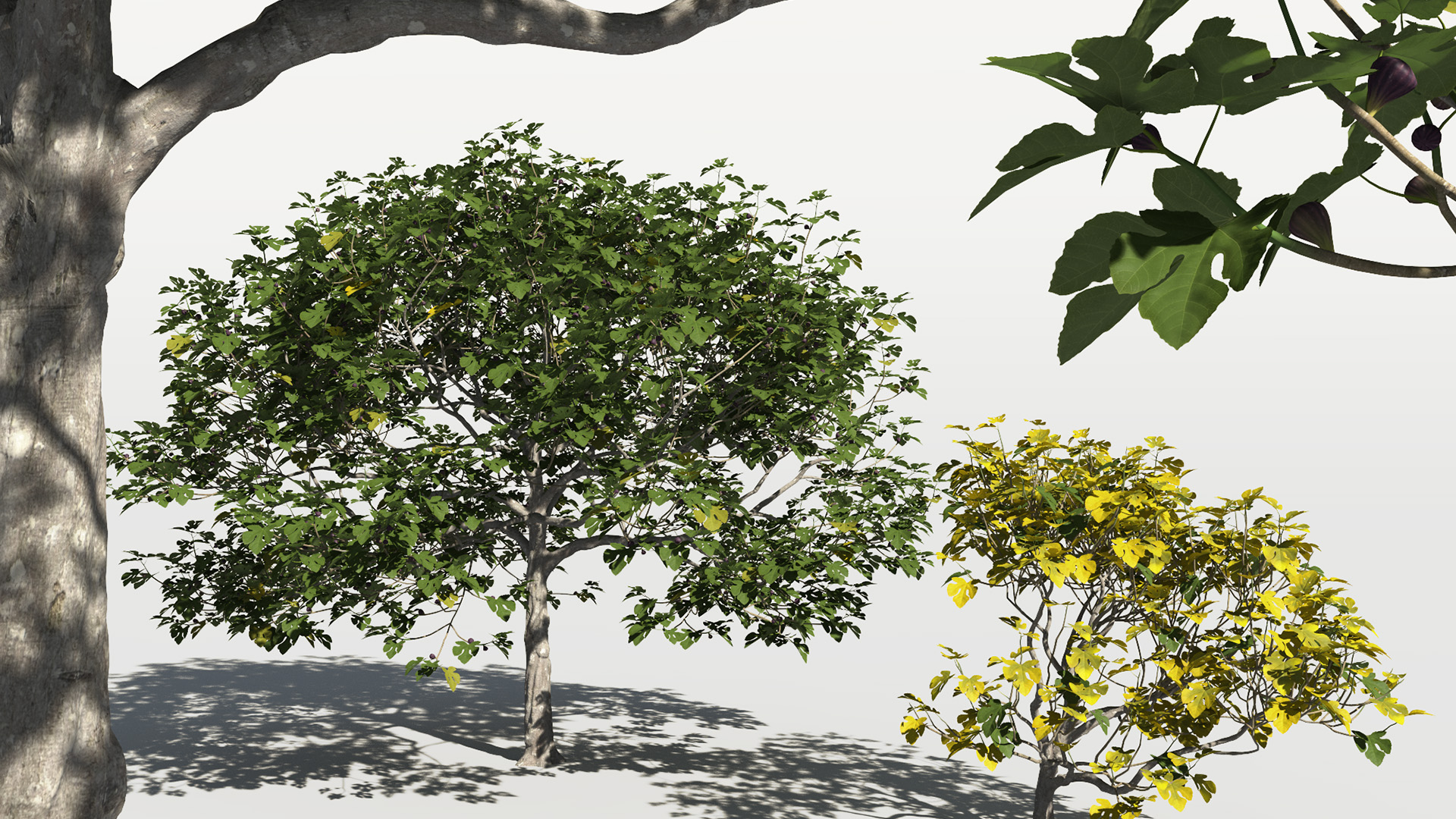 3D model of the Common fig tree Ficus carica different presets