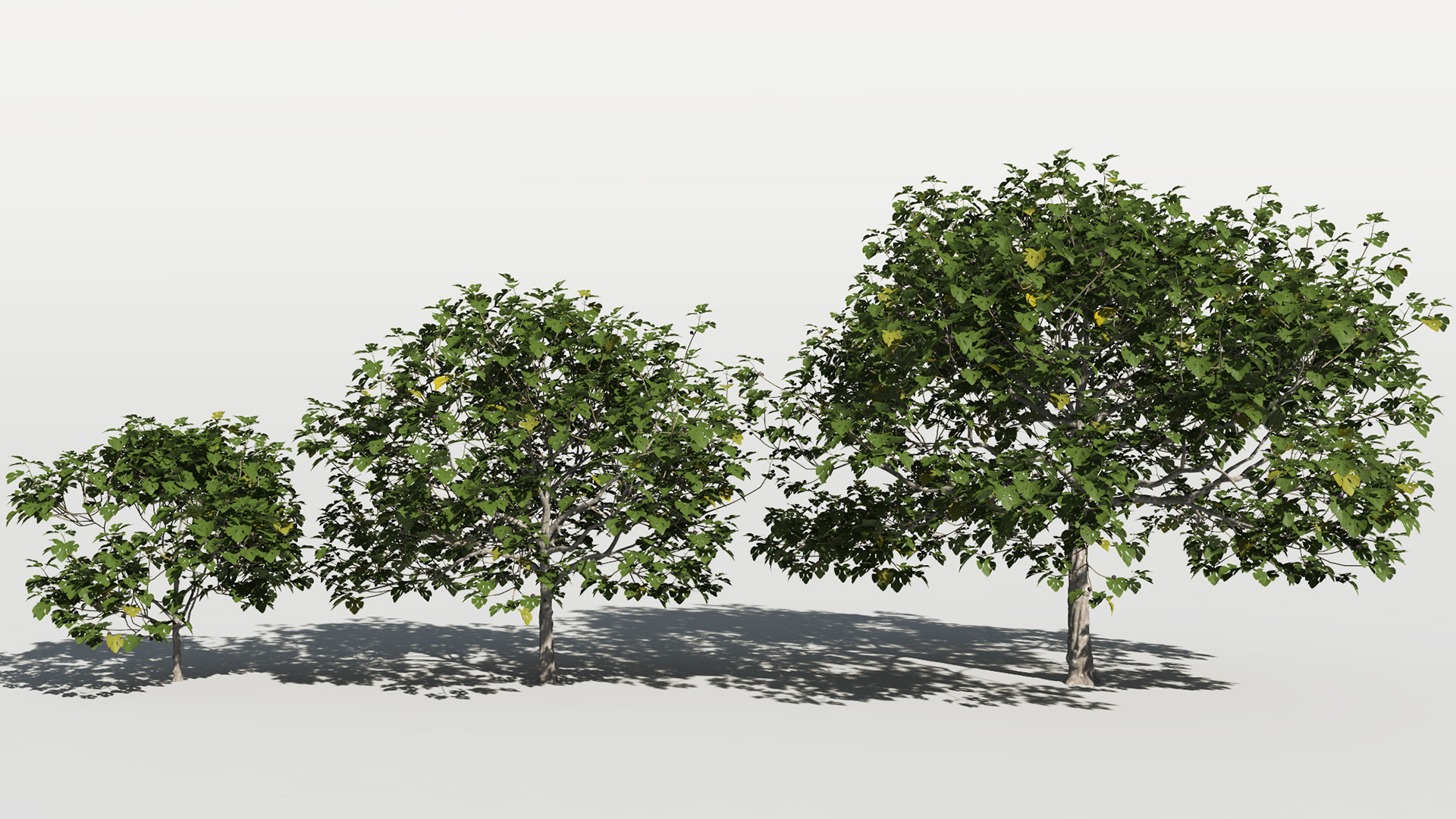 3D model of the Common fig tree Ficus carica maturity variations
