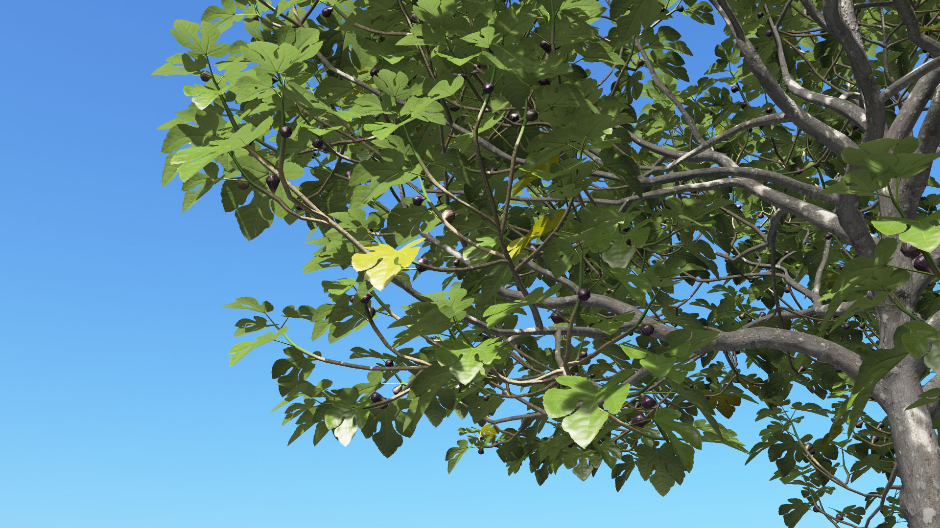 3D model of the Common fig tree Ficus carica close-up