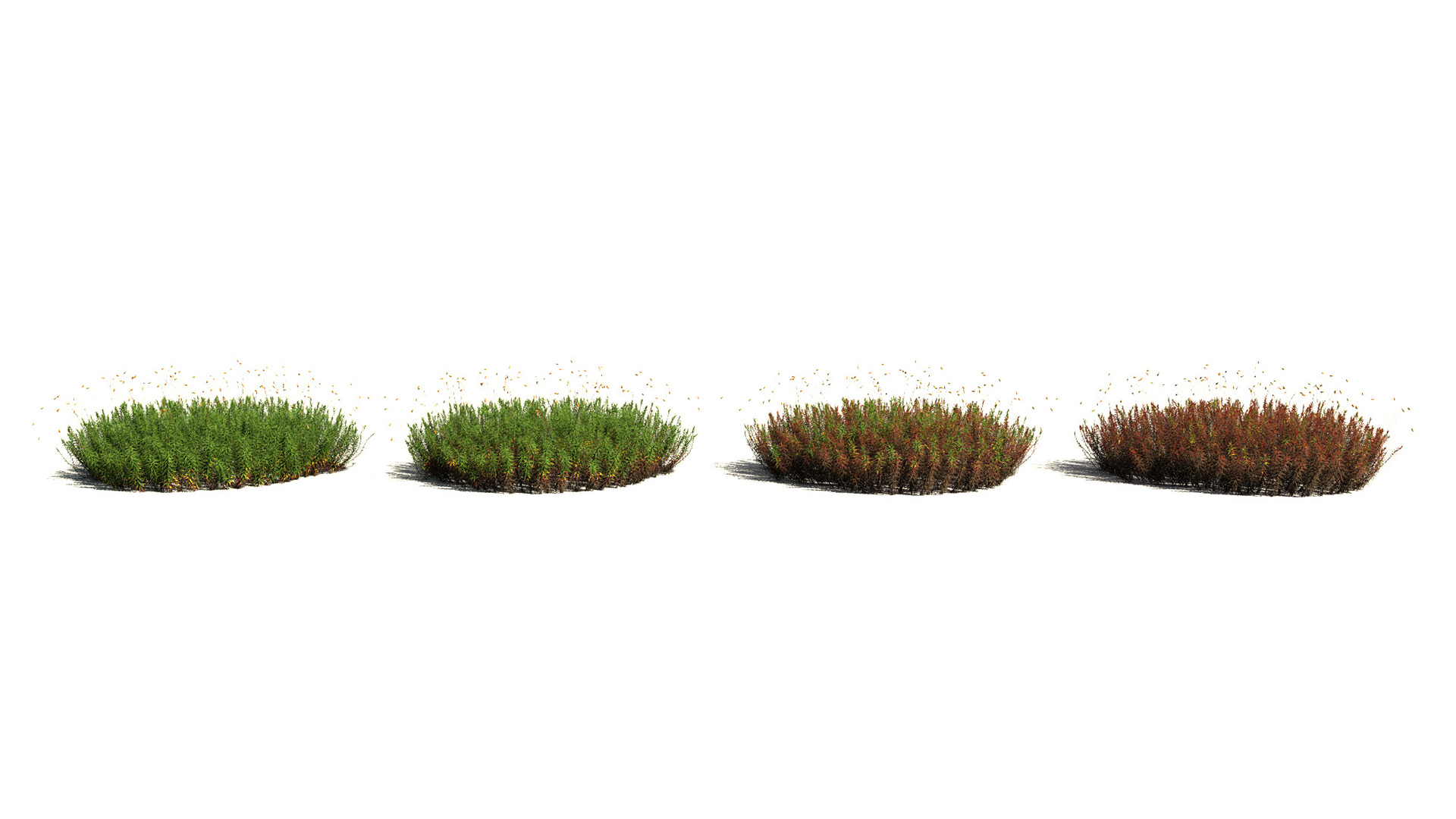 3D model of the Common haircap moss Polytrichum commune health variations