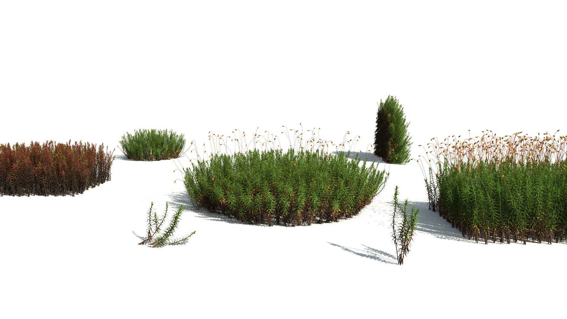 3D model of the Common haircap moss Polytrichum commune different presets