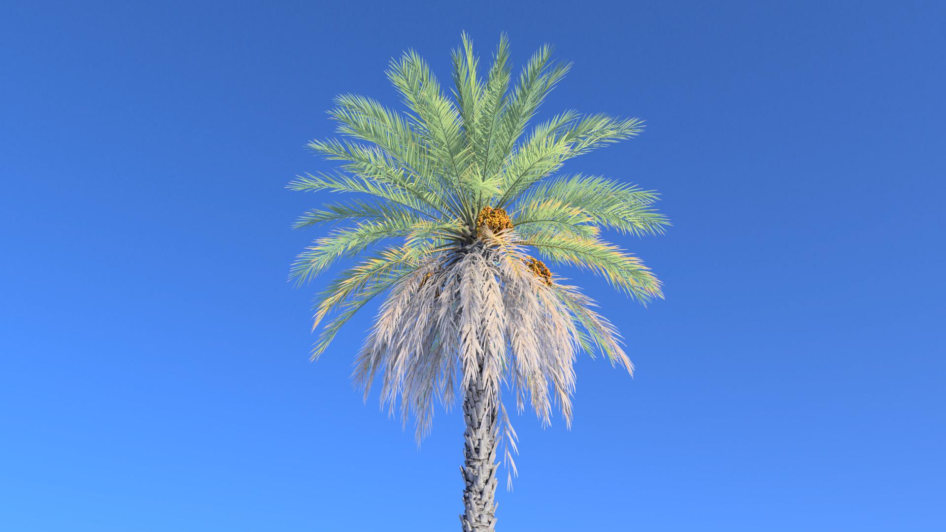 3D model of the Date palm Phoenix dactylifera close-up