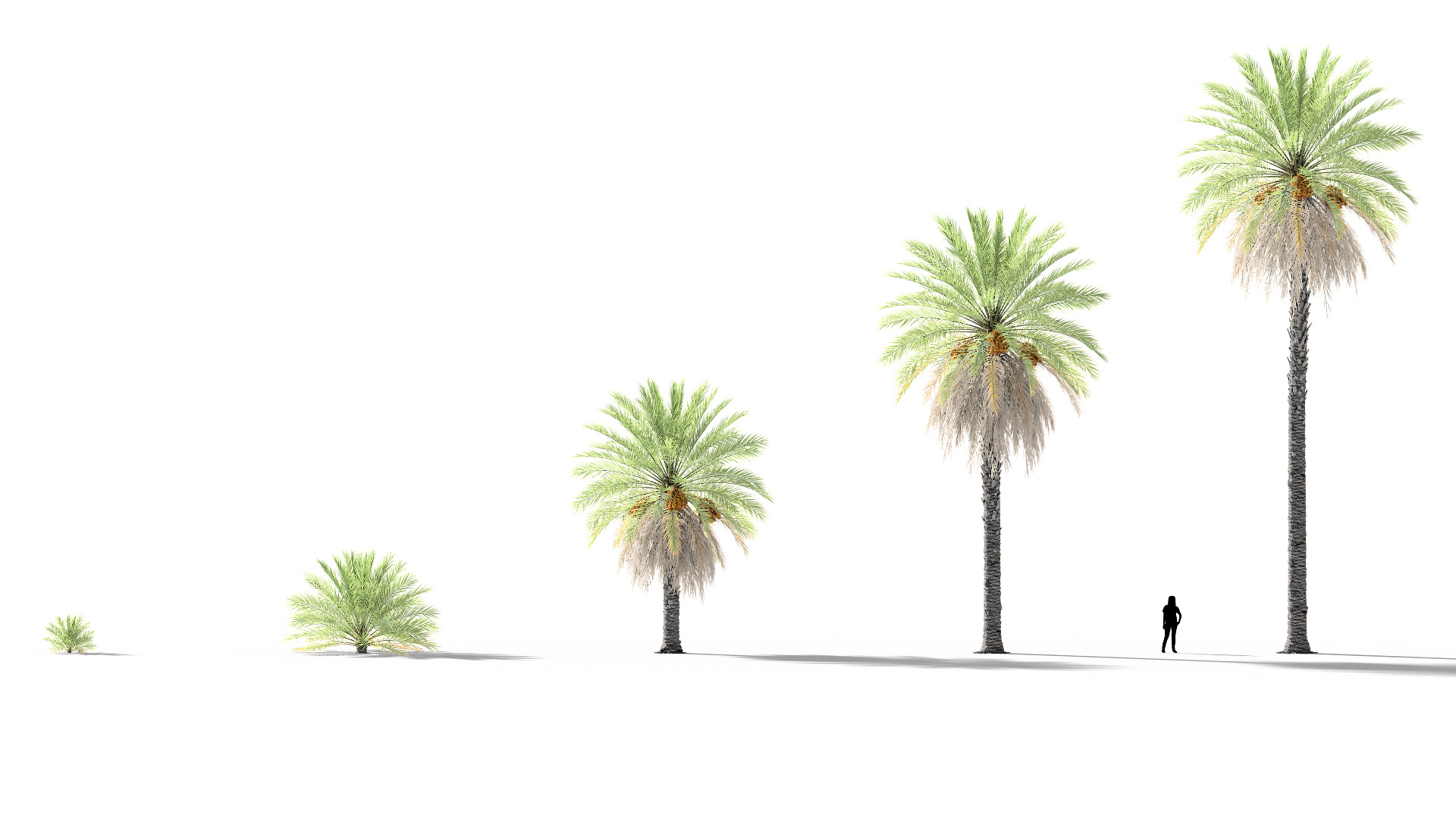 3D model of the Date palm Phoenix dactylifera maturity variations