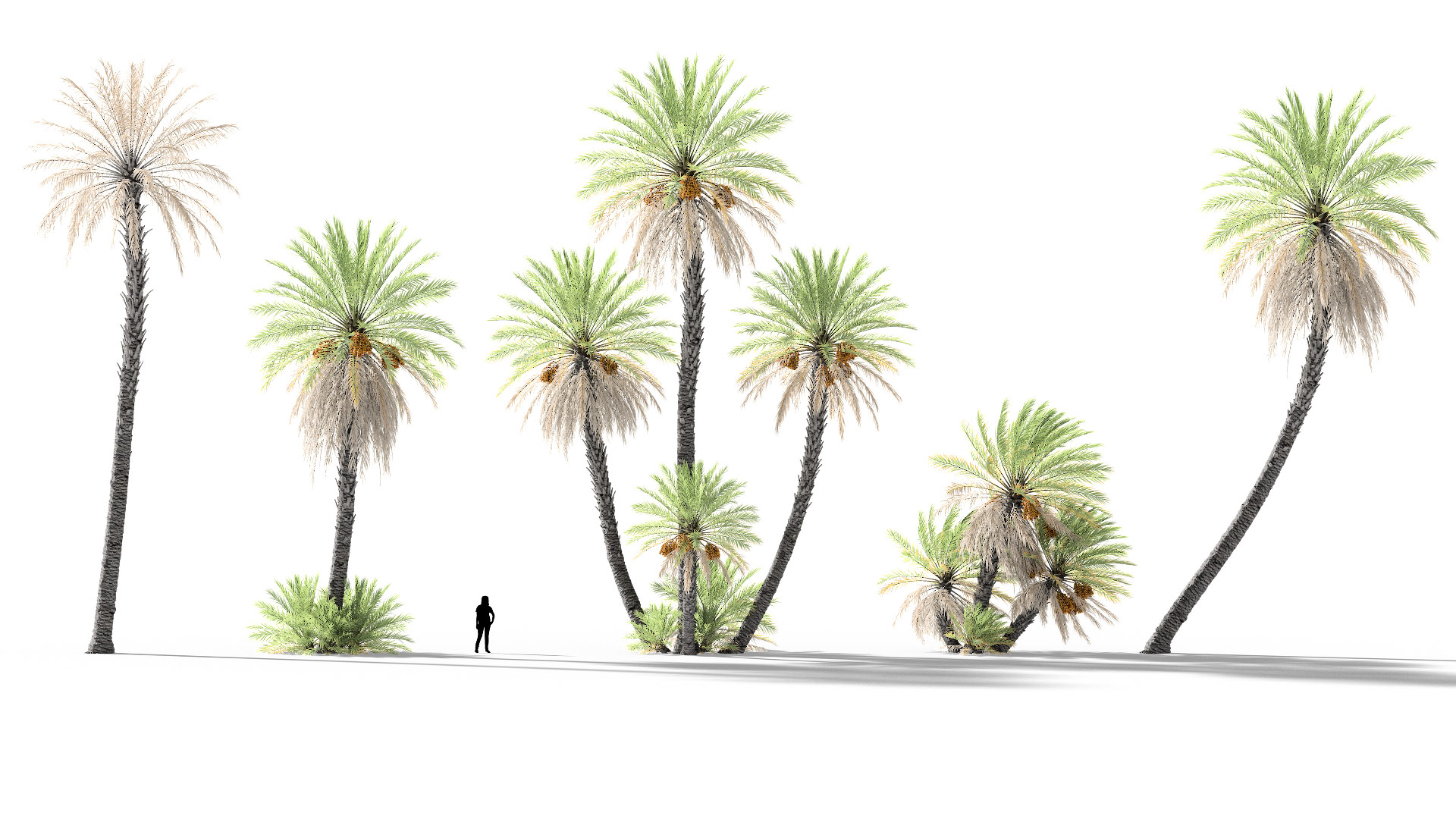3D model of the Date palm Phoenix dactylifera different presets