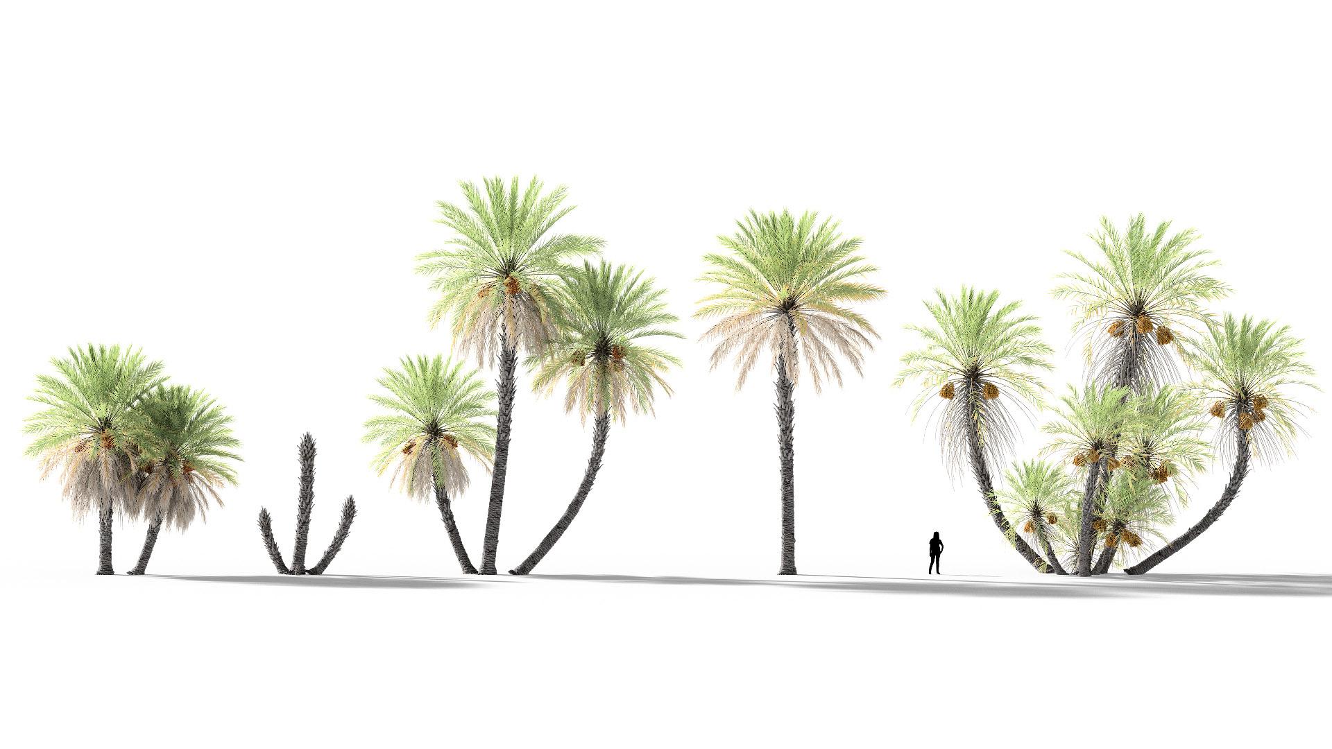 3D model of the Date palm Phoenix dactylifera published parameters